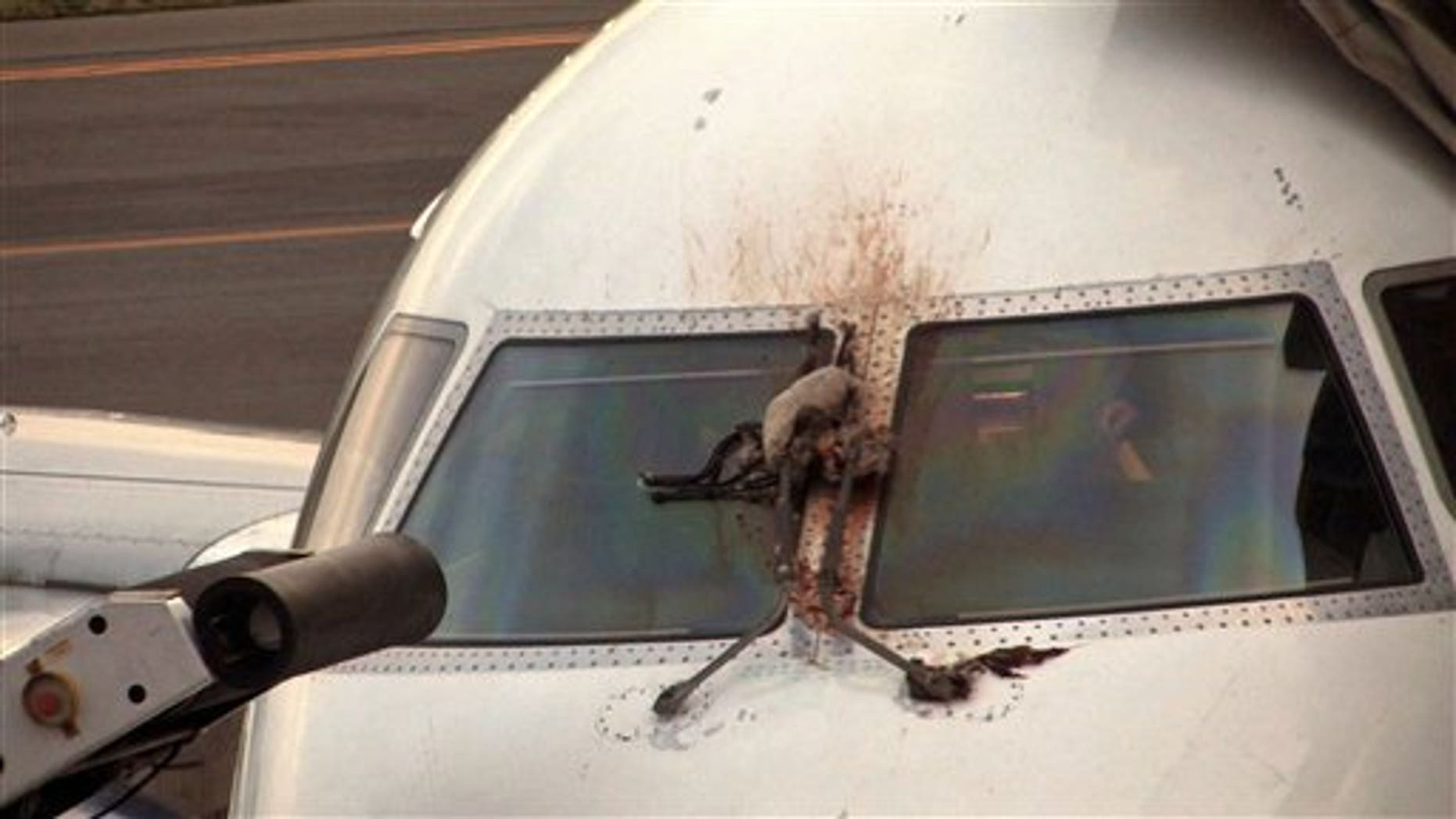 April 24, 2012: A Canada goose is stuck on the windshield of a JetBlue plane that made an emergency landing at the Westchester County Airport in Purchase, N.Y.