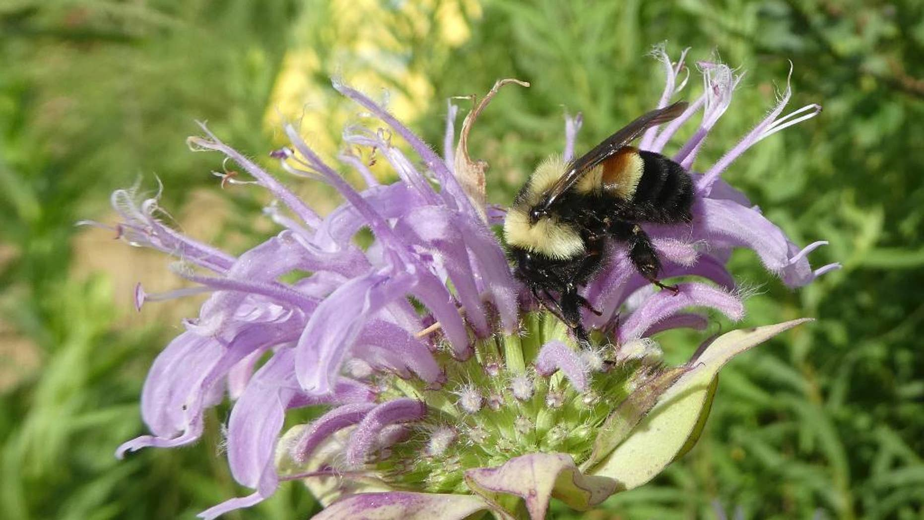 FILE - This 2016 file photo provided by The Xerces Society shows a rusty patched bumblebee in Minnesota. The Fish and Wildlife Service said that it was delaying listing the bee species as endangered, one day before it was to take effect. The listing was to take effect Friday, Feb. 10, 2017. (Sarah Foltz Jordan/The Xerces Society via AP, File)