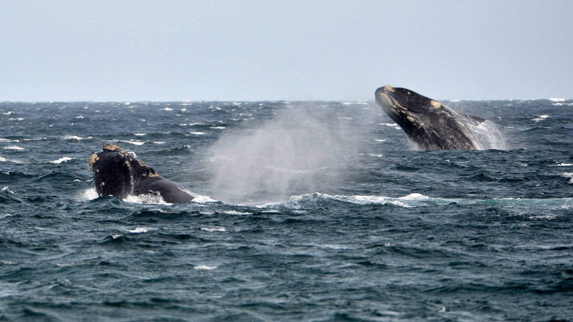 File photo: Southern right whales, known in Spanish as ballena franca austral, swim in the waters of the Atlantic Sea, offshore Golfo Nuevo, Argentina's Patagonian village of Puerto Piramides, September 19, 2014.  (REUTERS/Maxi Jonas)