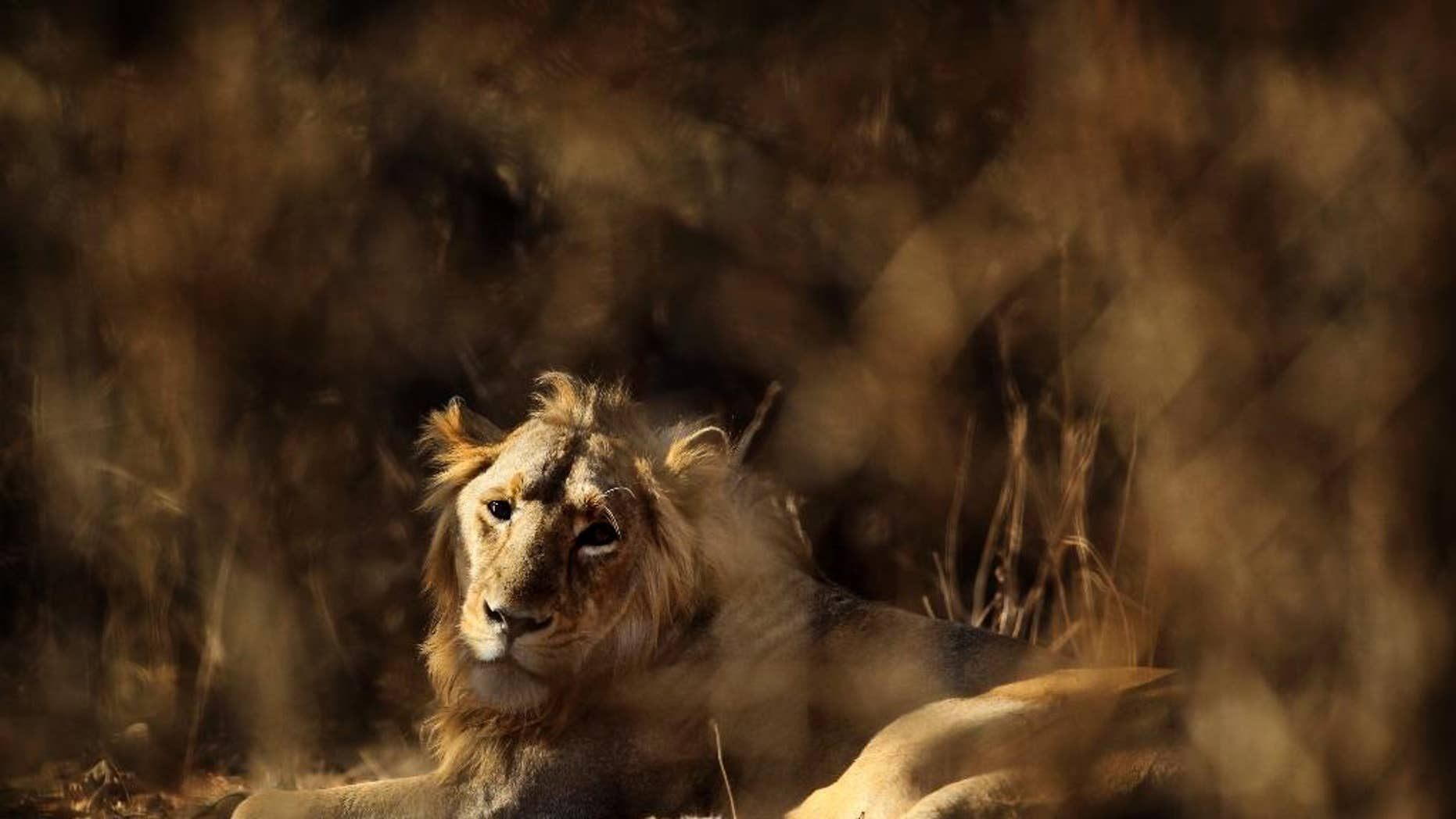 In this Saturday, March 24, 2012 photo, a lion rests at the Gir Sanctuary Forest reserve in the western Indian state of Gujarat, India. Forest reserve officials have sentenced three lions to life in captivity after they were found to have eaten humans. (AP Photo/Rajanish Kakade, File)
