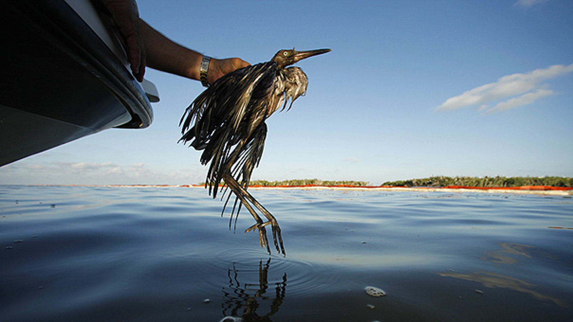 June 26: Plaquemines Parish Coastal Zone Director P.J. Hahn rescues a heavily oiled bird from Barataria Bay, La.