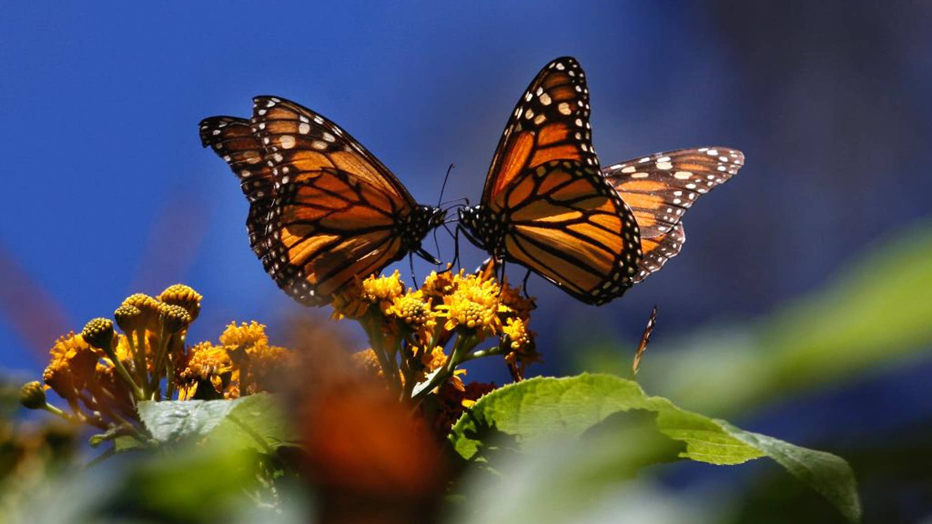 """FILE - In this Feb. 26, 2009 file photo, monarch butterflies gather on top of flowers at the Monarch Butterfly Biosphere Reserve, near the town of Chincua, Mexico. The head of Mexico's nature reserves, Luis Fueyo, said Tuesday, Sept. 23, 2014, the first butterflies have been seen entering Mexico earlier than usual this year. He said it is too early to say whether butterfly numbers will rebound this year from a series of sharp drops, but """"this premature presence could be the prelude to an increase in the migration."""" (AP Photo/Marco Ugarte, File)"""