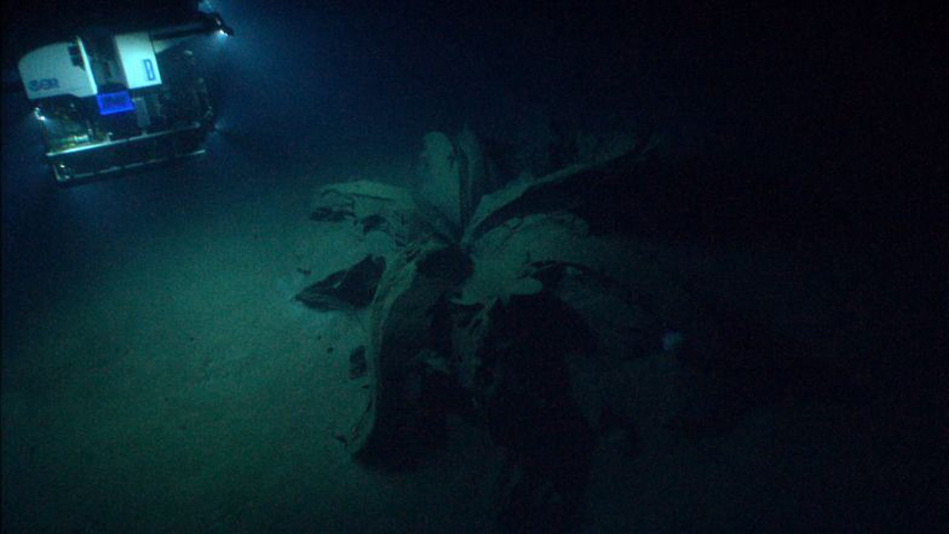 """One of the """"tar lilies"""" under the Gulf of Mexico."""