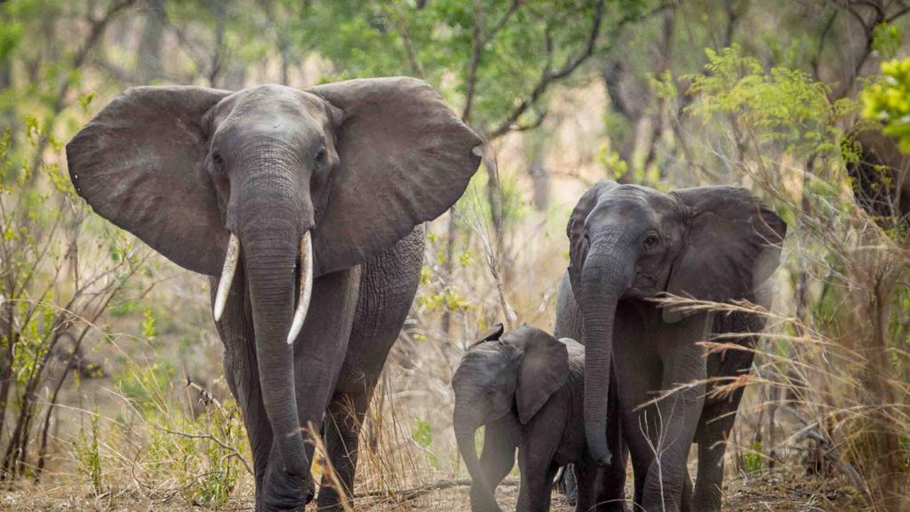 In this photo taken Dec. 2014 and supplied by African Parks elephants are seen roaming near Blantyre, Malawi. Next month, wildlife experts will start moving up to 500 elephants to a sanctuary that they hope will eventually serve as a reservoir to restore some elephant populations in other parts of Africa where the threatened species has been heavily poached. (Morgan Trimble/African Parks via AP)