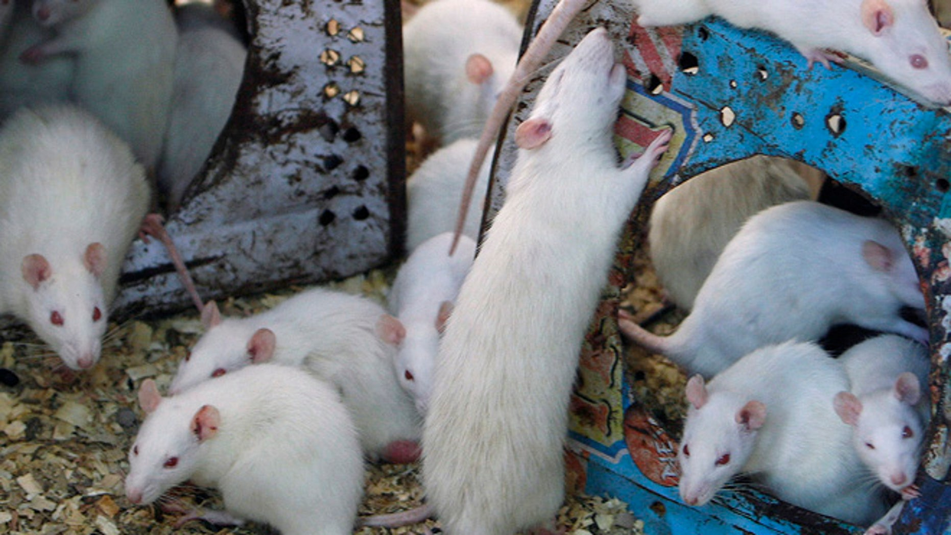 June 27, 2009: White mice crawl around tins surrounded by sawdust.