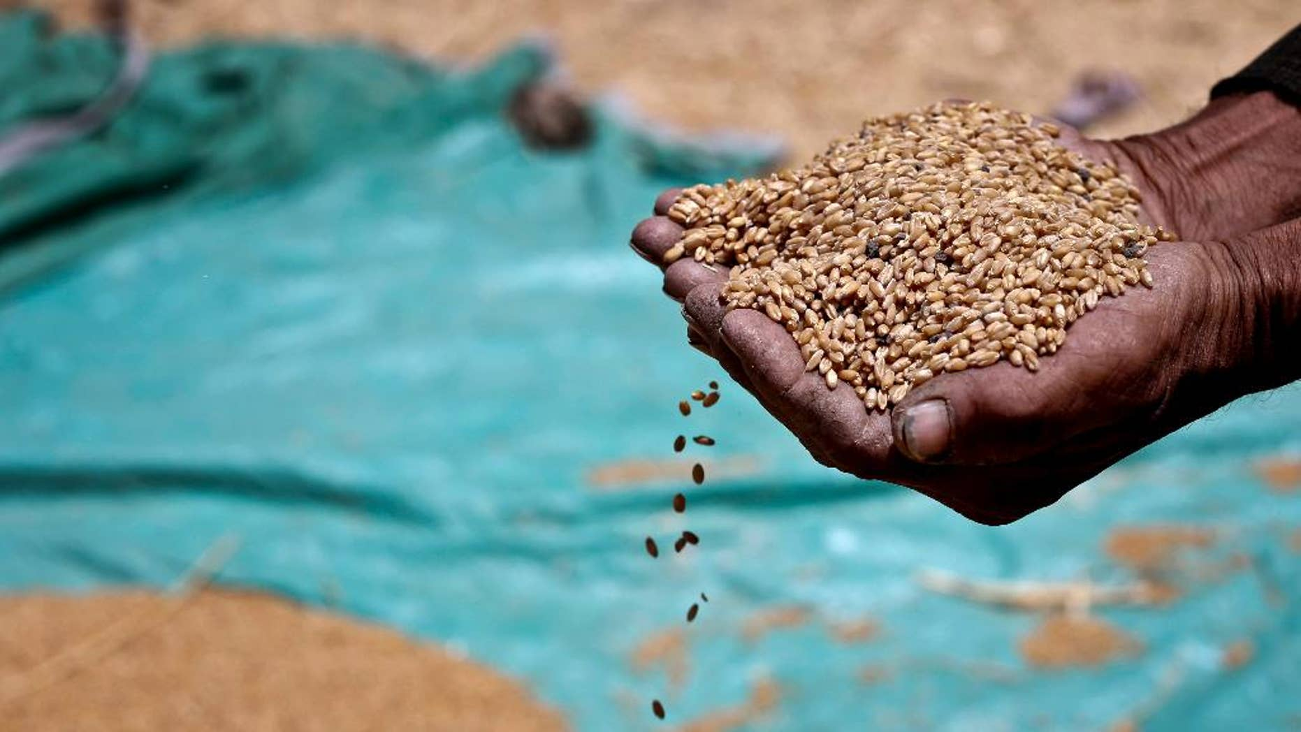FILE - In this Sunday, May 19, 2013 file photo, a farmer holds grains of wheat in his hands on a field in Fayoum, 60 miles, (100 kilometers), south of Cairo, Egypt. Egypt's farmers have begun the annual wheat harvest. This year, it comes as the government is trying to rein in its decades-old policy of subsidizing  bread with a new electronic smart-card system. The minister of supply says that the new system will save the government money and better target the country's poorest. He also says that Egypt, the world's largest importer of wheat, will continue to rely on foreign sources for the staple crop. Unrest in Ukraine has pushed up wheat prices worldwide in recent months. (AP Photo/Hassan Ammar, File)
