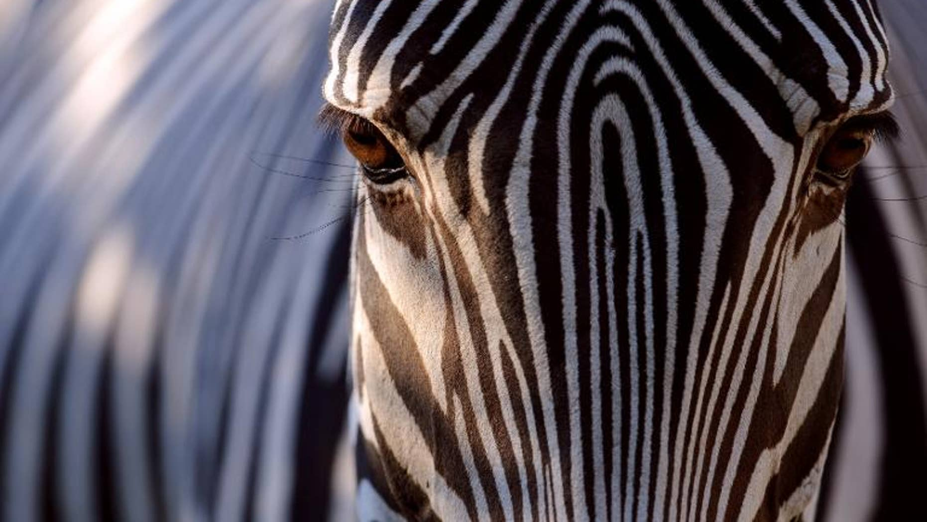 A British zoo said Wednesday it has banned visitors from wearing leopard or zebra print clothes because they are confusing the animals.