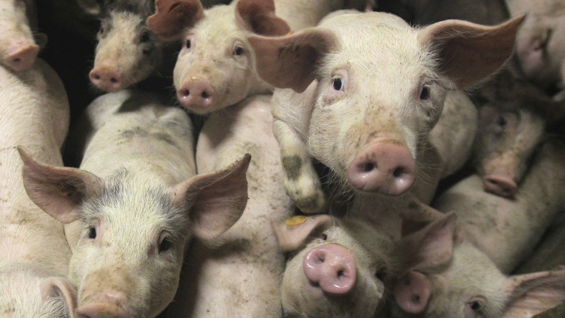 Pigs attacked a woman in India