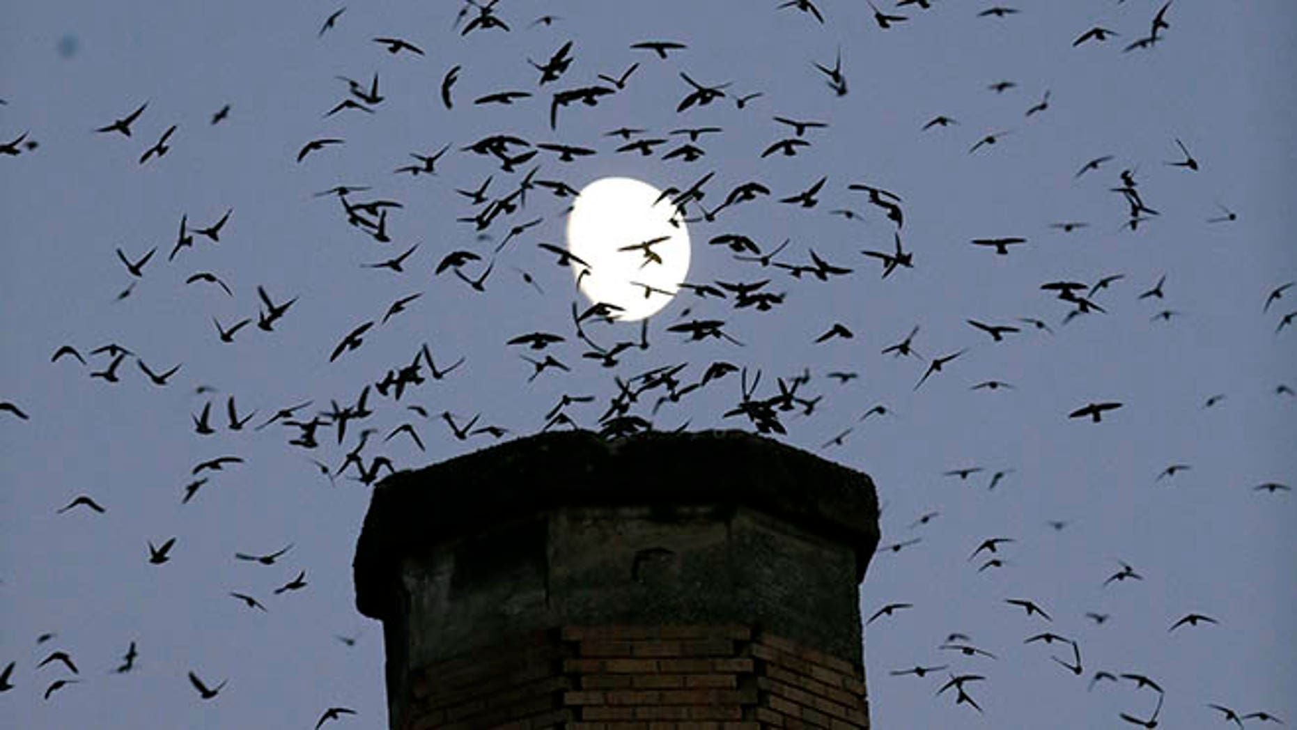In this Tuesday, Sept. 13, 2016 photo,tThe moon is visible in the background as a multitude of migratory Vaux's Swifts flock to roost for the night inside a large, brick chimney at Chapman Elementary School in Portland, Ore. Numbers of Vaux's Swifts are in decline, in part scientists say because of the destruction of the brick chimneys that they use to roost during their annual fall migration. (AP Photo/Don Ryan)