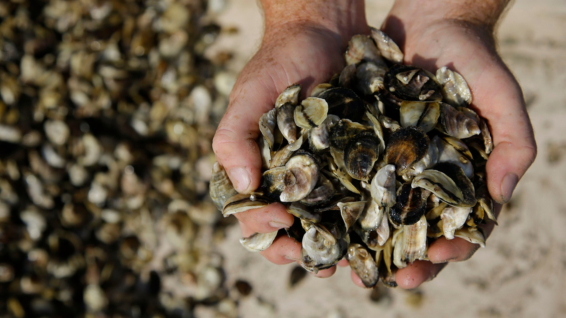 Oyster cultivator Don Merry holds his oyster seed before spreading the seed into the waters of Duxbury Bay in Duxbury, Mass. Oyster harvesting on Massachusetts' South Shore has been closed since Aug. 30, 2013 due to bacterial contamination from the Vibrio parahaemolyticus bacteria and may remain closed until mid-October. (AP Photo/Stephan Savoia)
