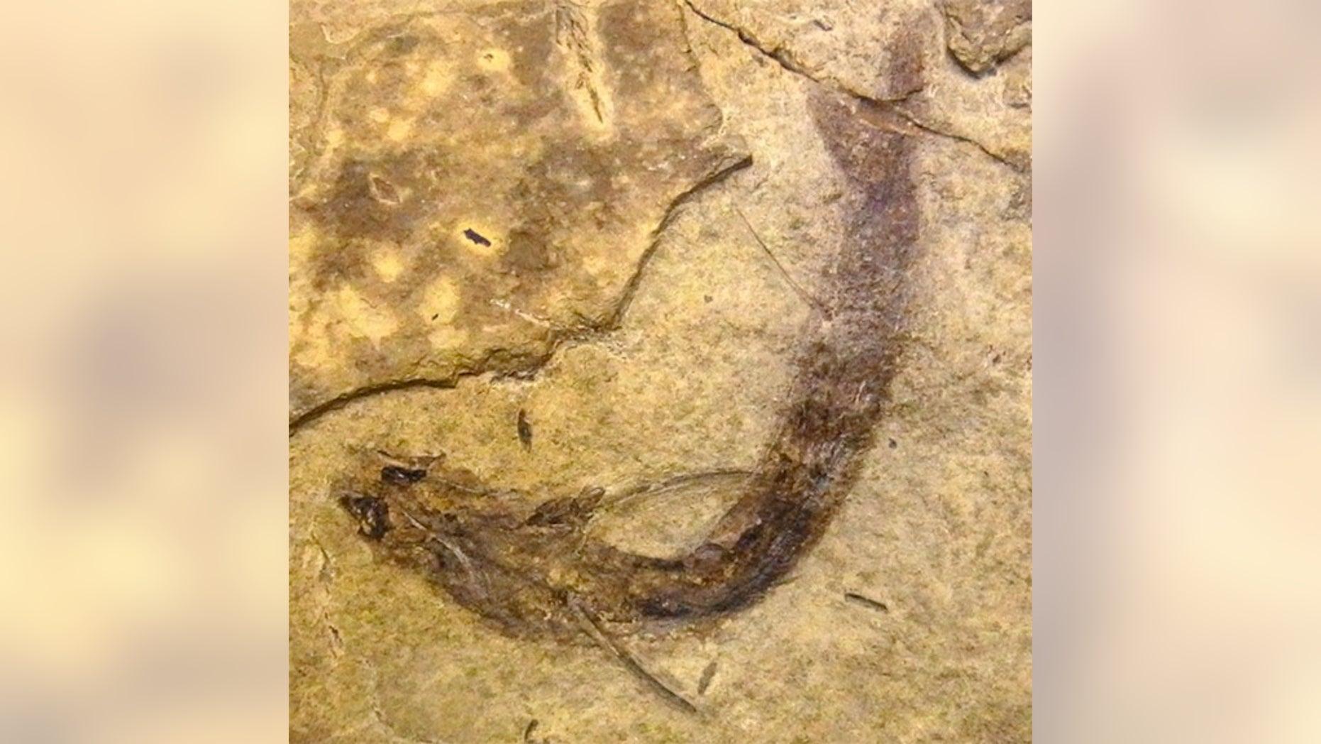Fossilised Acanthodes bridgei with eye tissues intact.