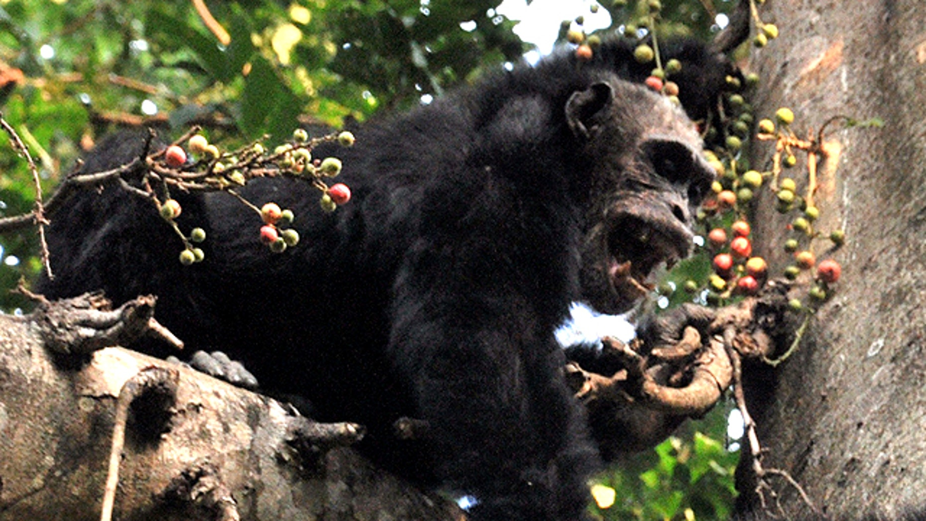 An adult male chip jumps on a fig tree.