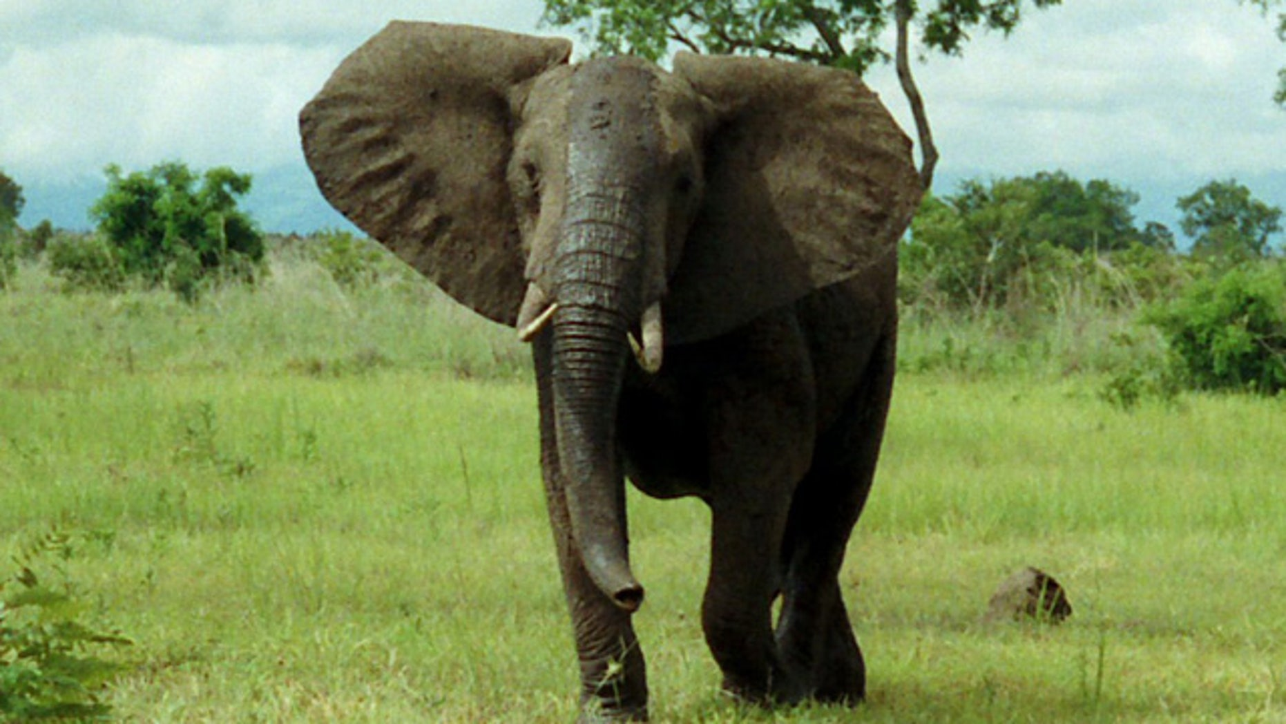 An African bush elephant grazes in Mikumi National Park, Tanzania. A similar elephant on the rampage in Nepal may be repsonsible for 11 deaths.