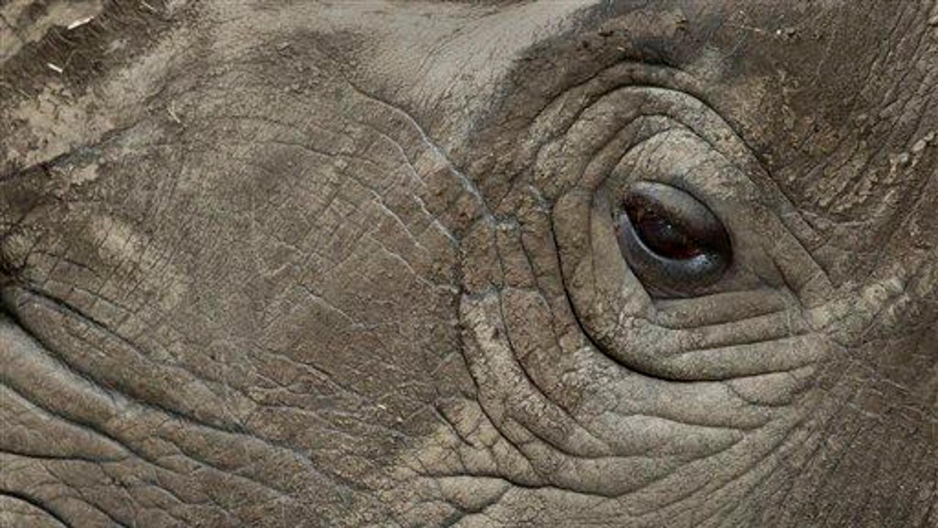 In this photo taken Monday, Dec. 1, 2014, female northern white rhino Najin stands in her pen where she is being kept for observation at the Ol Pejeta Conservancy in Kenya.