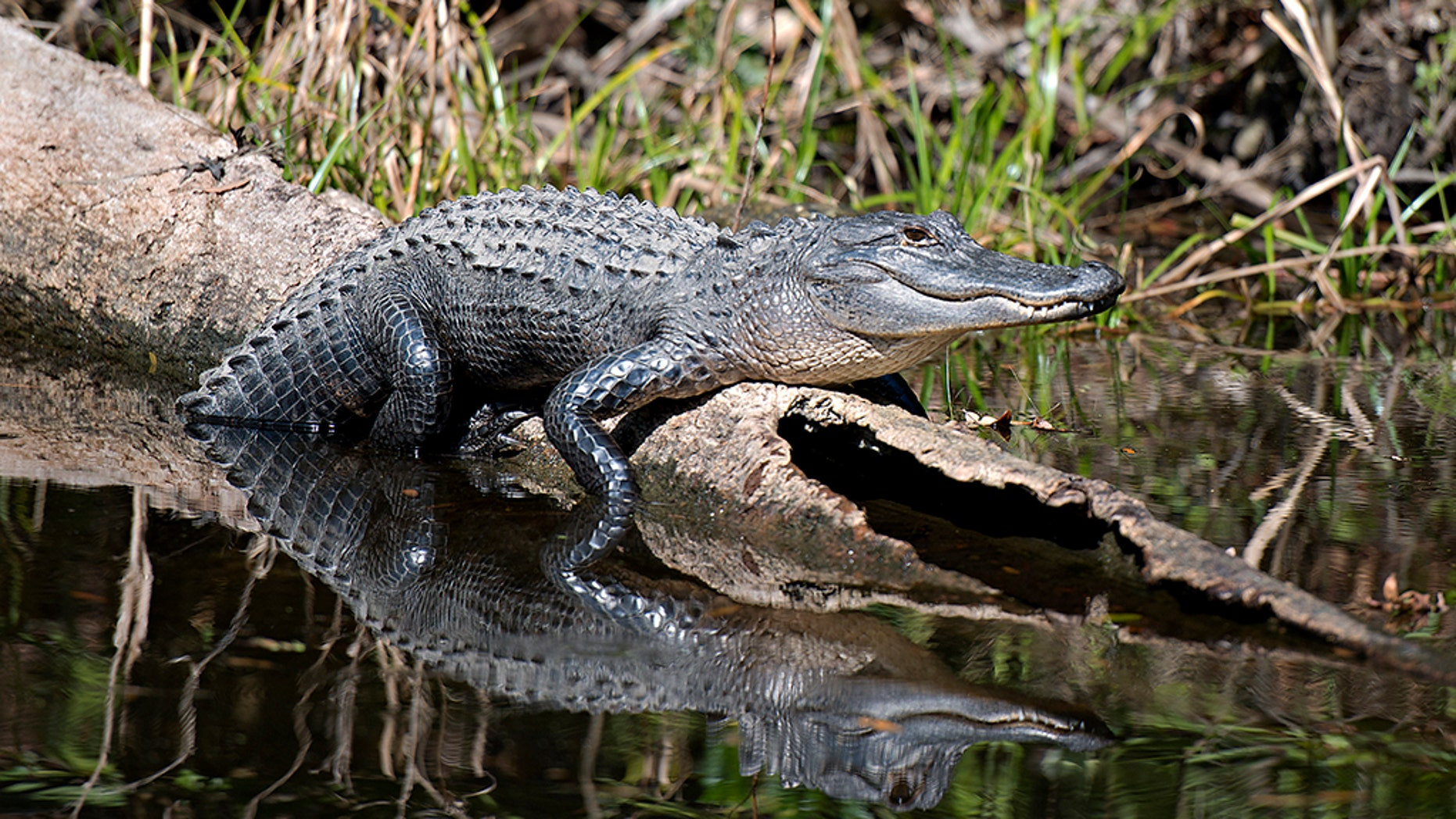New Jersey police say they are looking for an alligator that was spotted out and about this week.