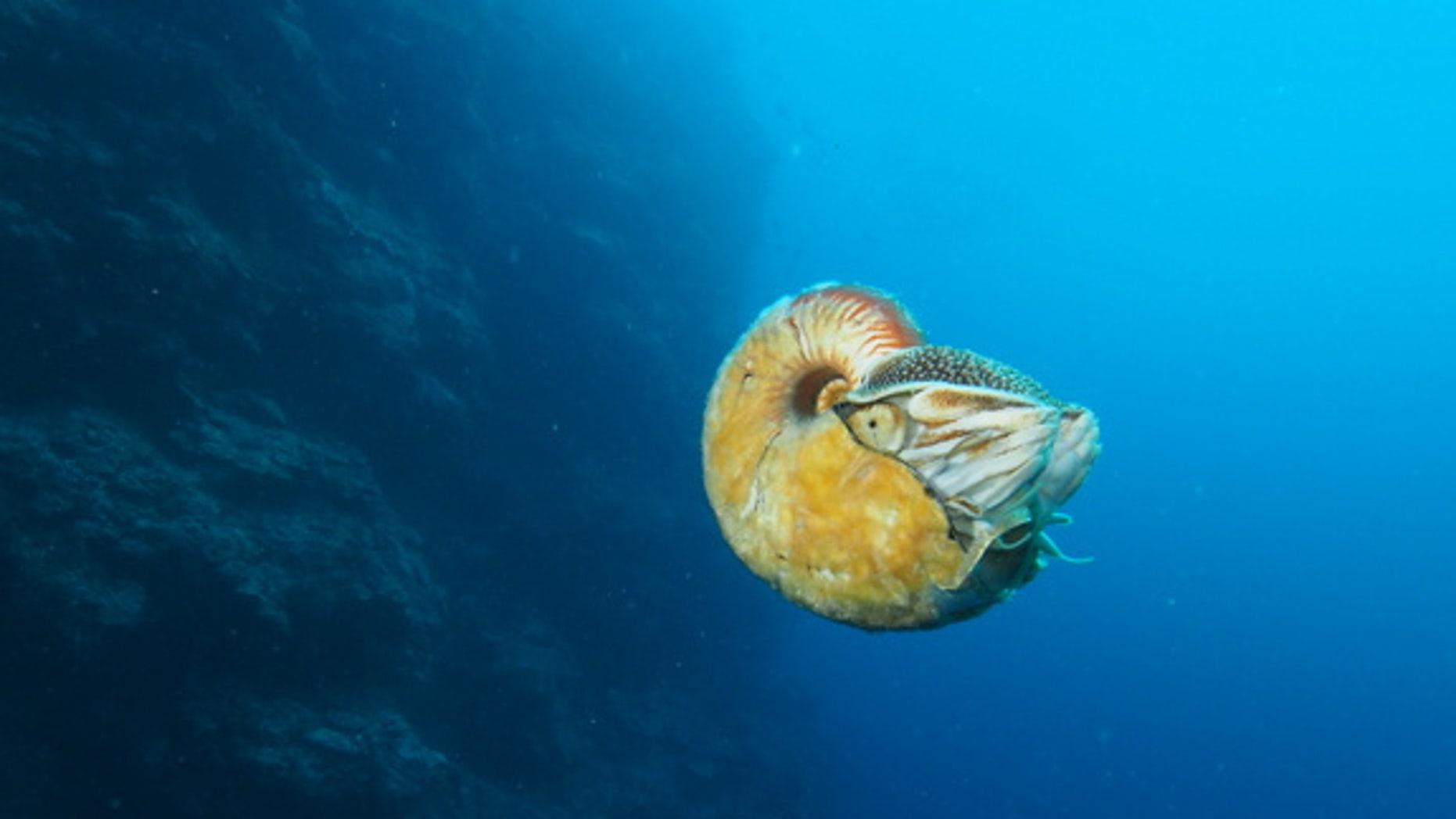 Allonautilus scrobiculatus off the coast of Ndrova Island in Papua New Guinea.