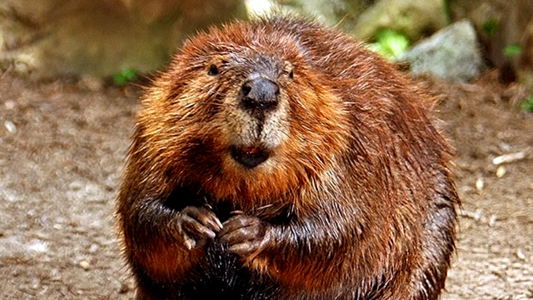 """Three people were bitten by a rabid beaver last week in Philadelphia before the animal was killed -- and game wardens remain stumped about the """"truly bizarre"""" attacks."""