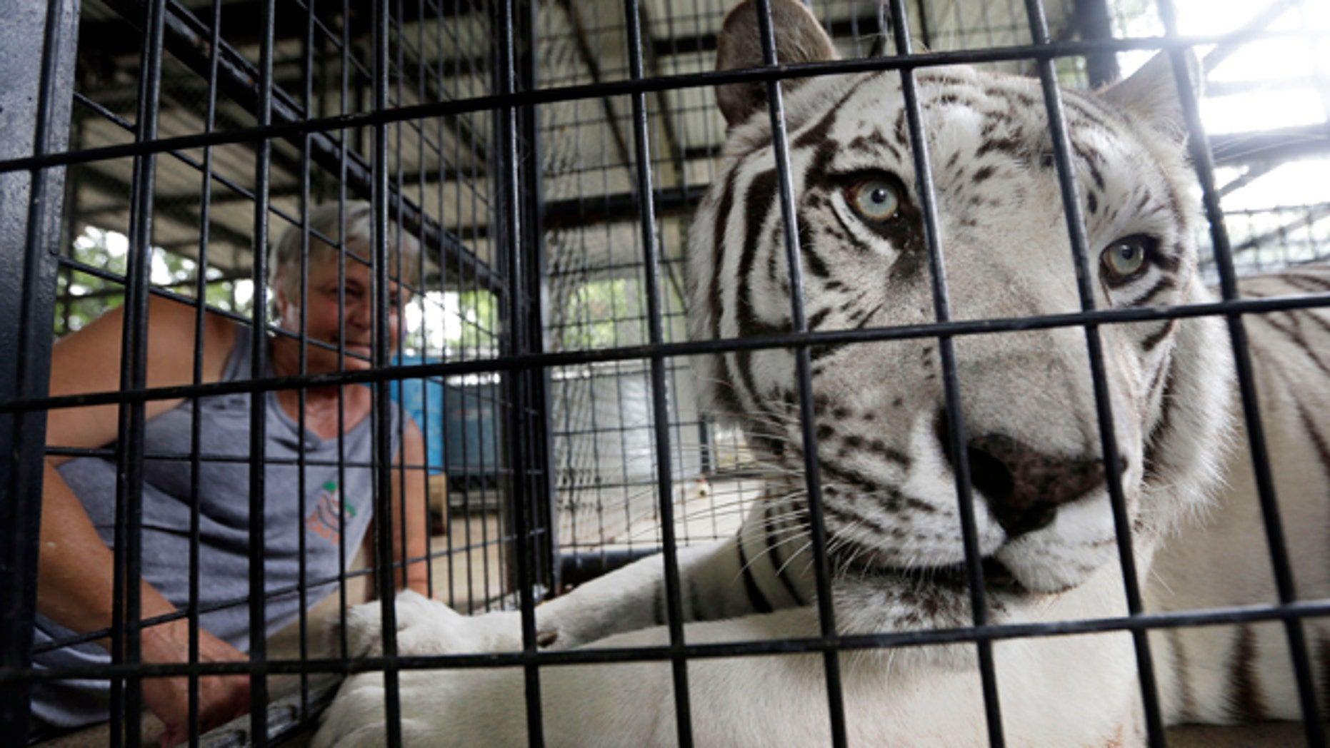 July 25, 2013: A tiger suffering from distemper is calmed before a blood draw at the In-Sync Exotics Wildlife Rescue and Education Center in Wylie, Texas.