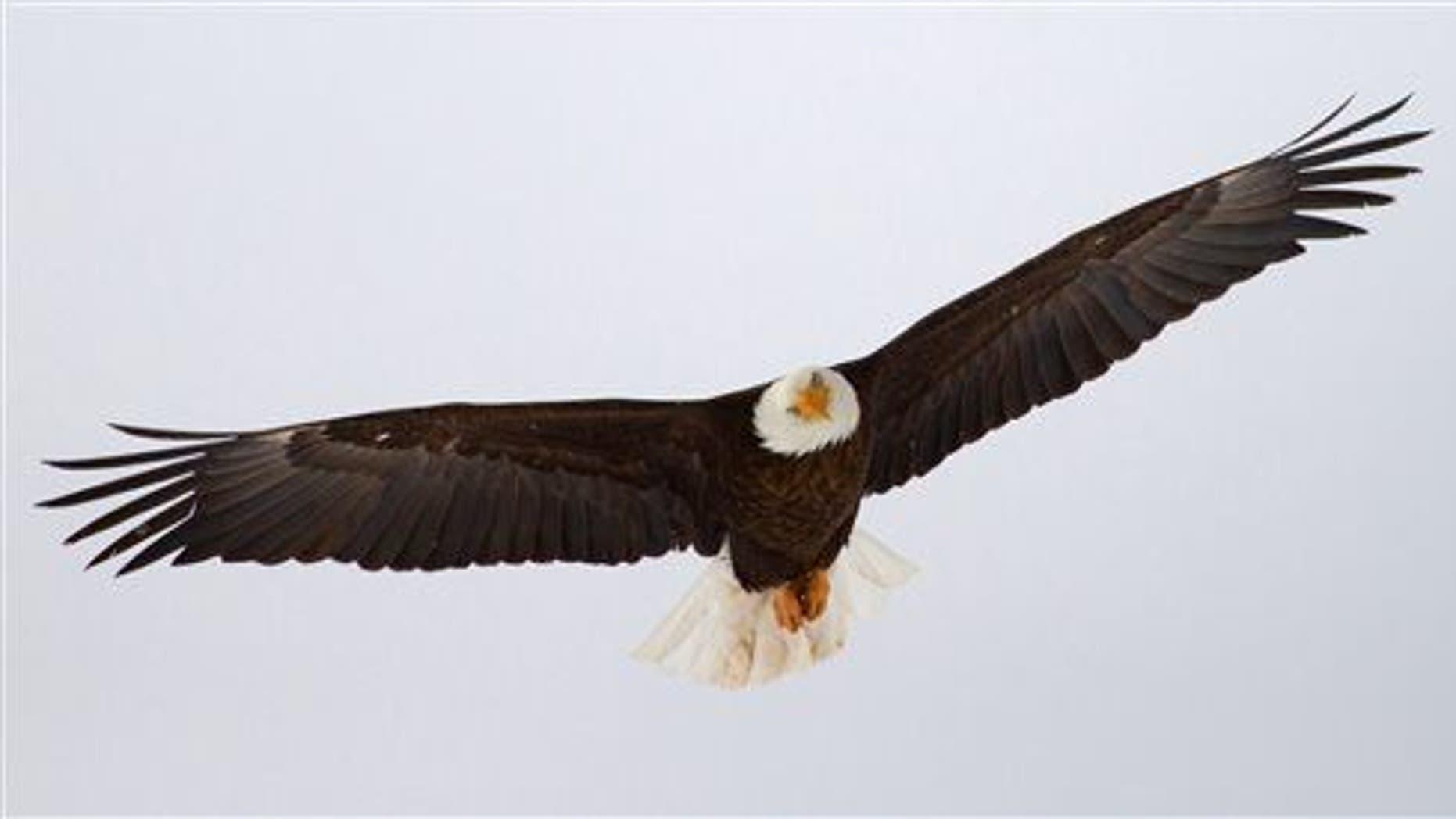 A bald eagle flies in Utah.