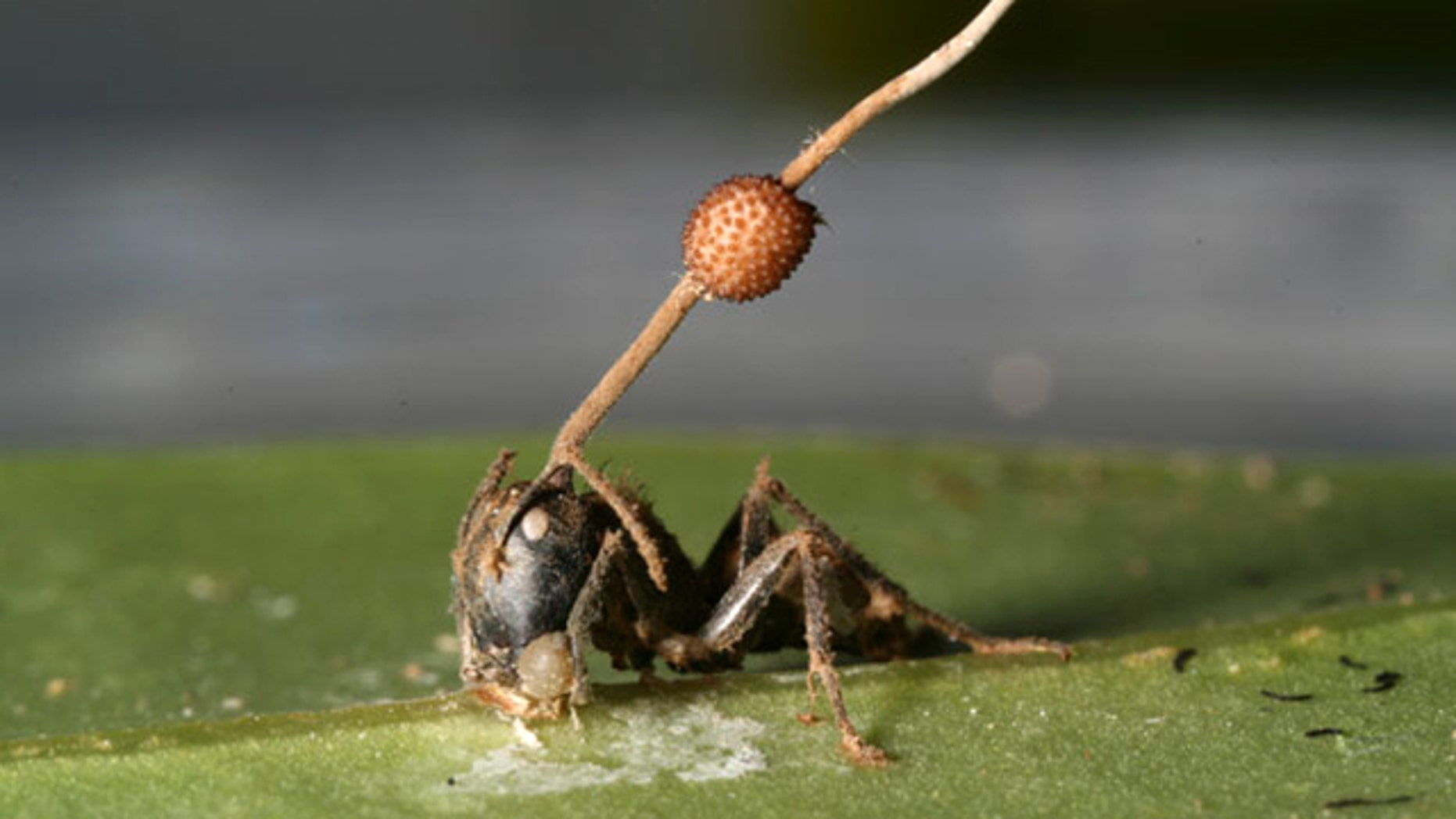 A parasitic fungus stalk erupted from the head of a dead carpenter ant whose jaws are gripping the underside of a leaf's major vein.