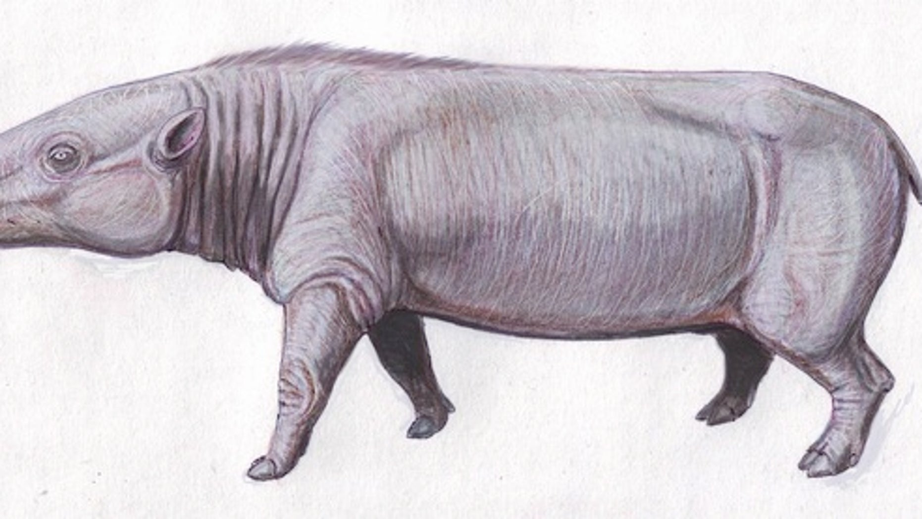 The anthrocothere, shown here, is believed to be a common ancestor to hippos.