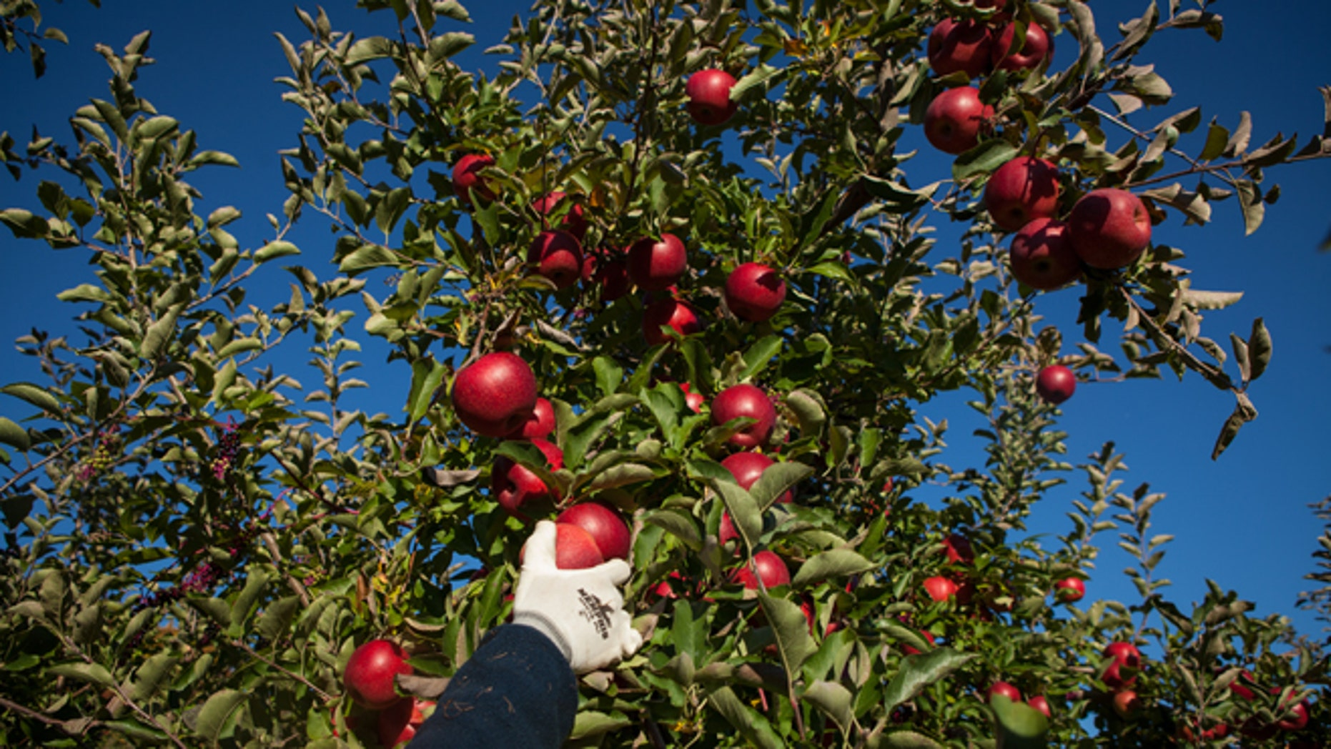 DEERFIELD, MA - OCTOBER 15:  Farmhand Louie Knolle harvests Empire apples at Clarkdale Fruit Farms on October 15, 2015 in Deerfield, Massachusetts. Favorable weather conditions over the summer and fall has led to a abundant apple harvest this year.  (Photo by Matthew Cavanaugh/Getty Images)