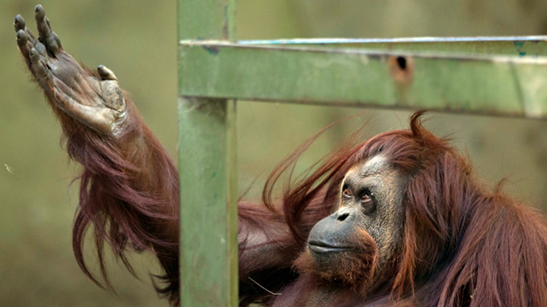 Sandra the orangutan sits in her enclosure at Buenos Aires' Zoo in Argentina.