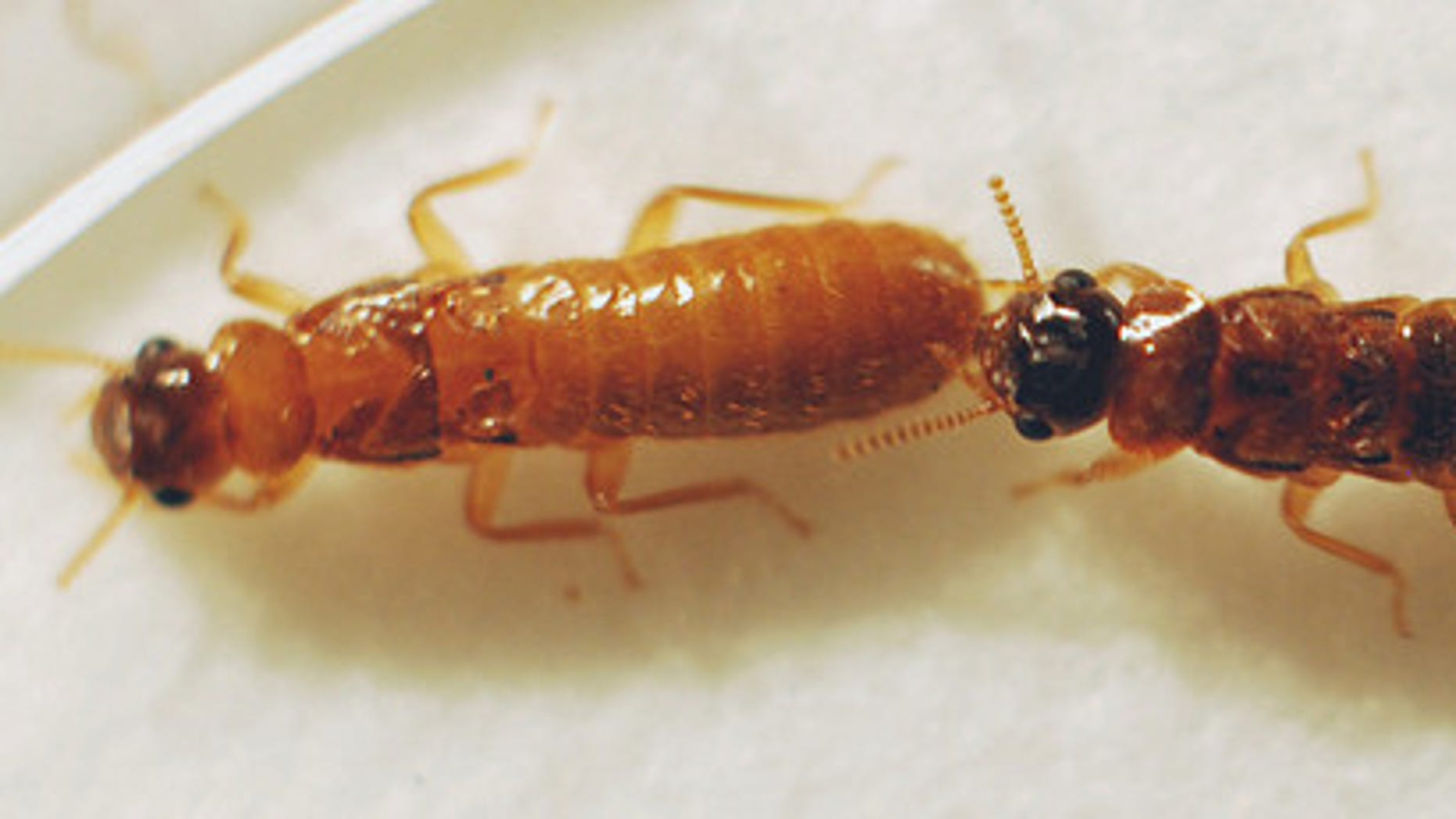 A male Asian termite (right) and female Formosan termite (left) mating together.