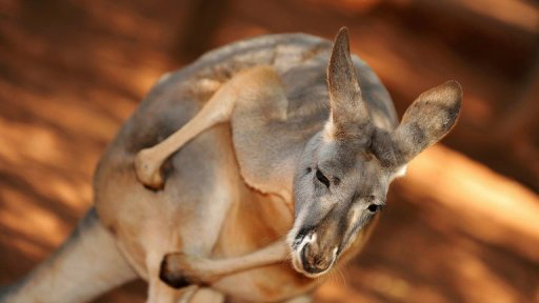 An Australian red kangaroo.