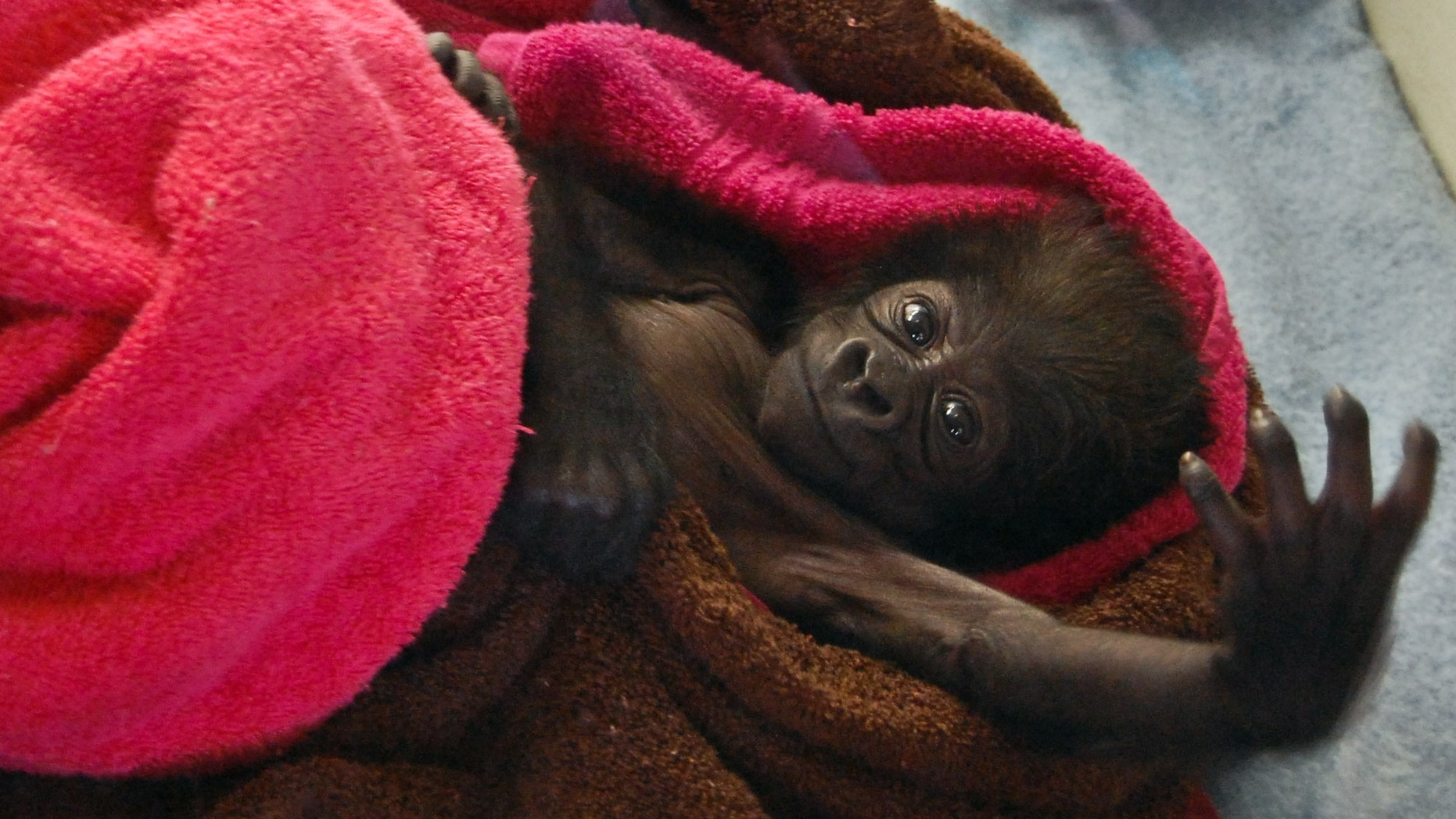Feb. 15, 2013- Female baby gorilla reaches into the air at the Gladys Porter Zoo in Brownsville, Texas before she was sent to the Cincinnati Zoo.