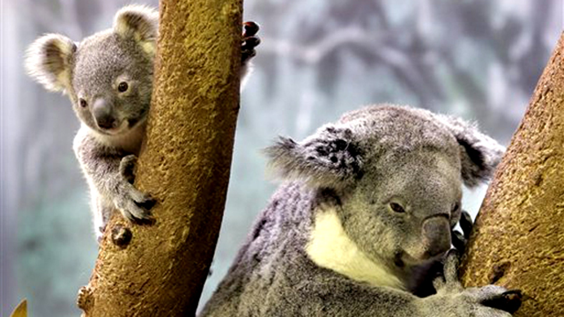 May 7,  2010: A 9-month-old baby koala, left, ventures from his mother at the Cleveland Metroparks Zoo in Cleveland. The zoo's other adult koala also has a baby in her pouch.