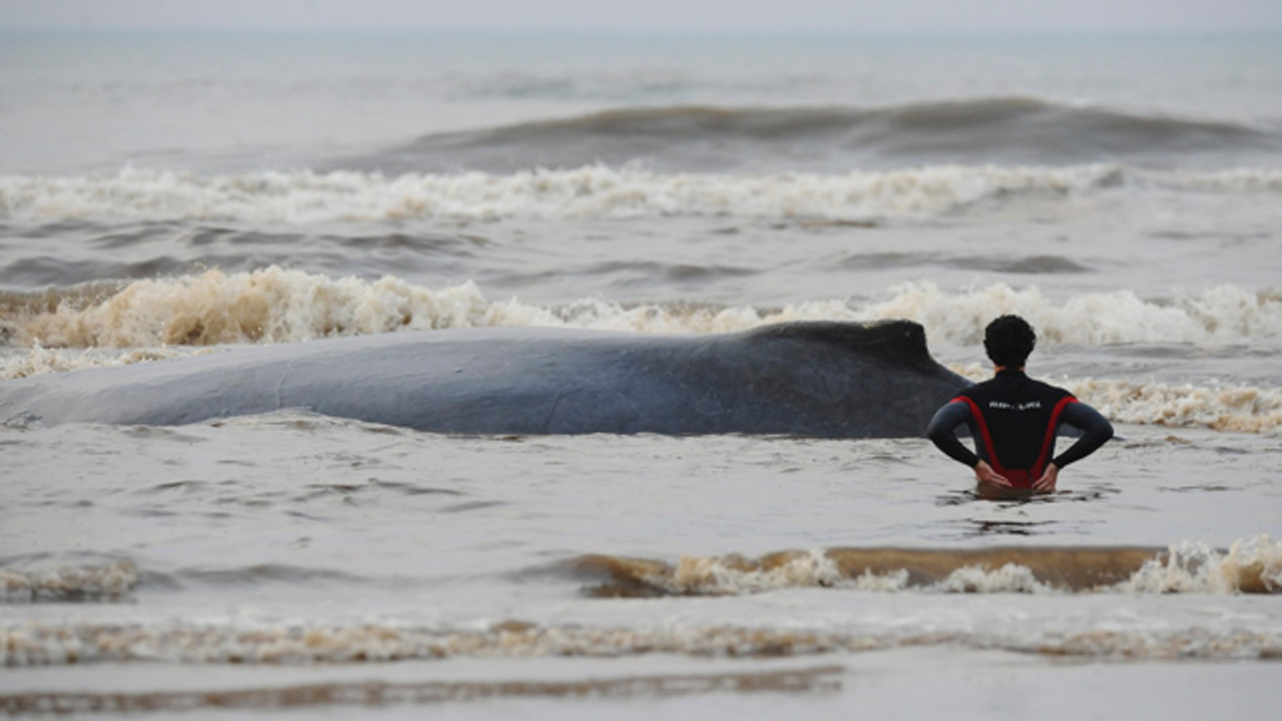 August 24: A man watches a beached whale at the Capao da Canoa beach in the Brazilian southern state of Rio Grande do Sul. (AP)