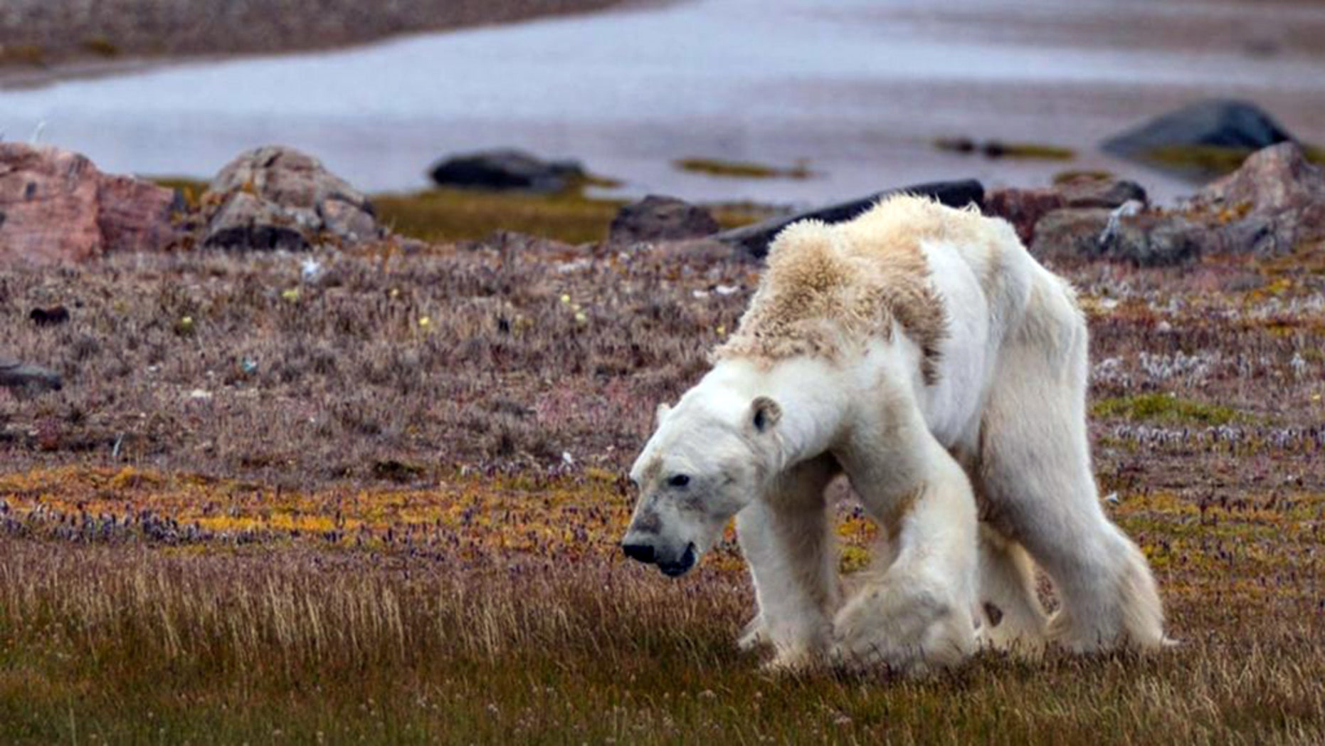 An image of the emaciated polar bear