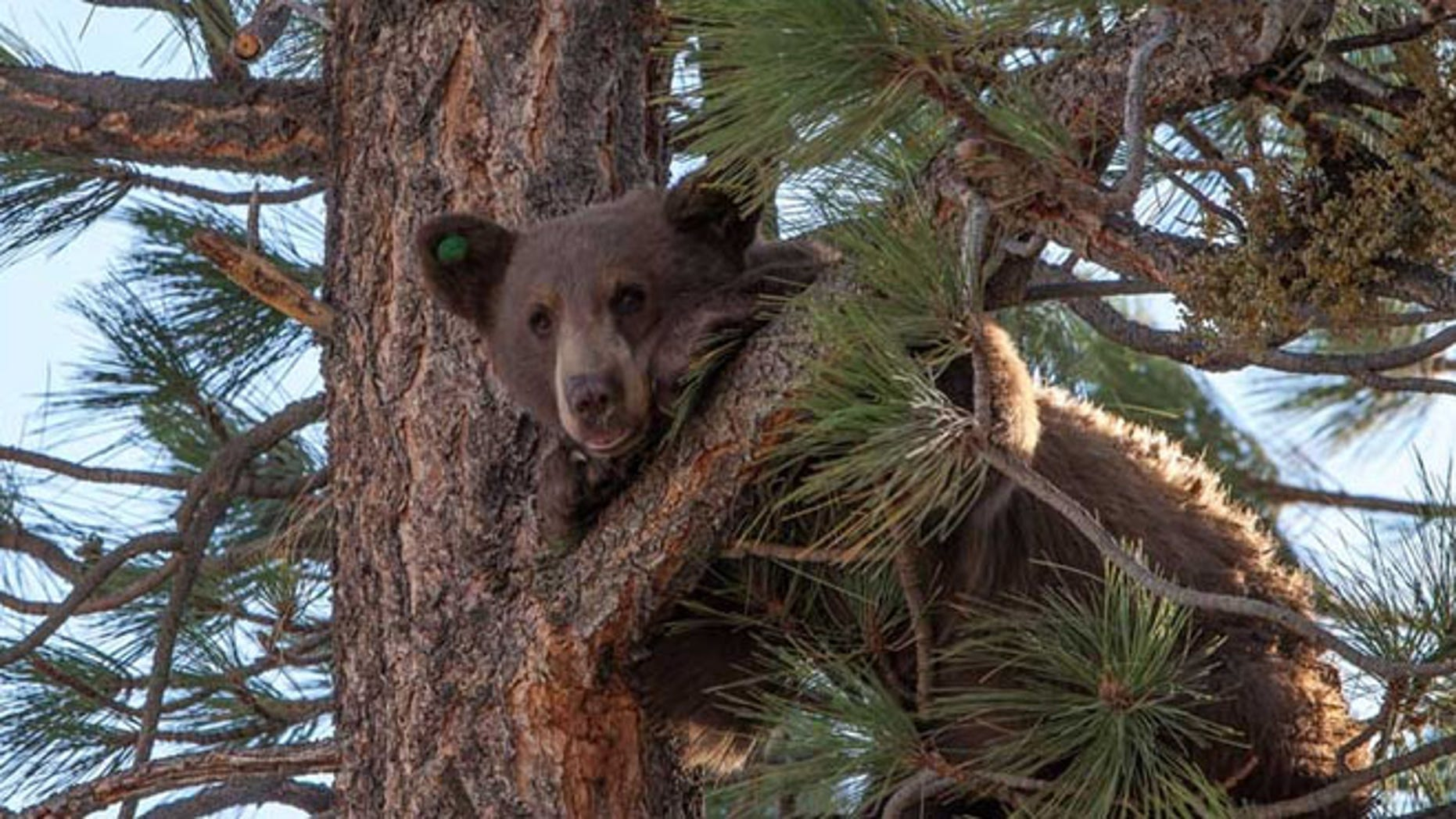 Aug 9, 2013: In this photo provided by Nevada Department of Wildlife, a yearling male black bear runs up a tree.