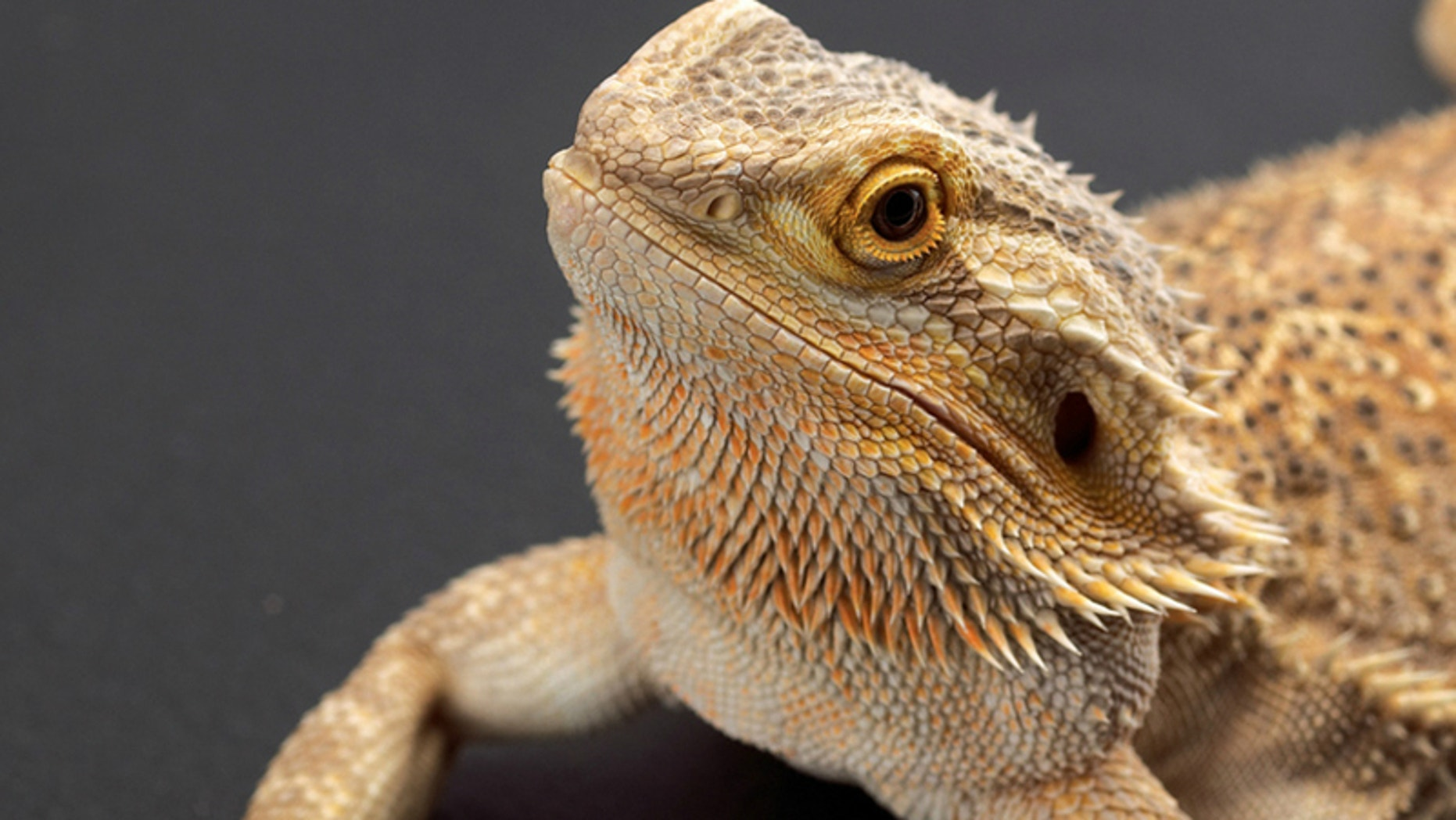 Your Typical Bearded Dragon Displaying A Laid Back Demeanor