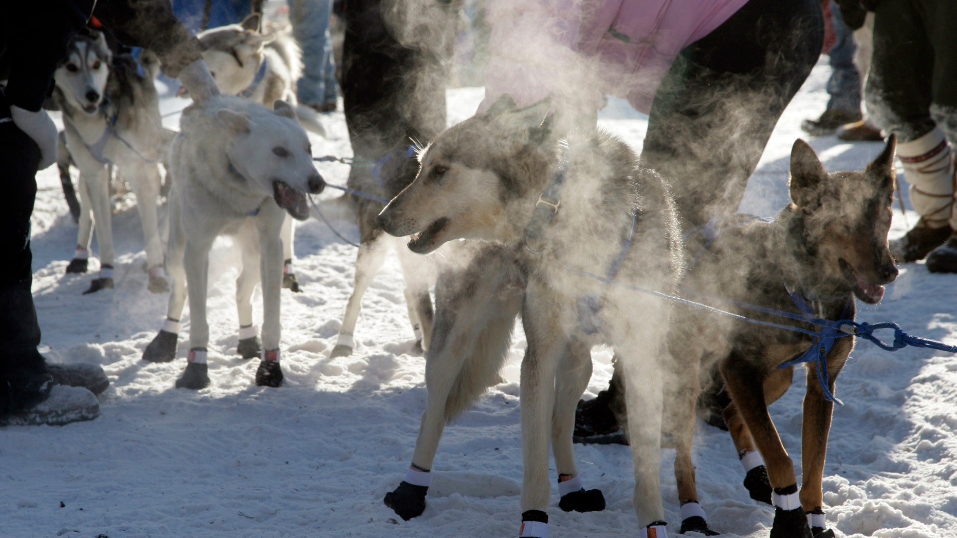 The mushing team of Joanna Oberg, of Ignace, Ontario, Canada, fills the starting line area with steam from their breath, as they prepare to depart from the starting line of the John Beargrease Sled Dog Marathon, in Duluth, Minn., on Sunday, Jan. 30, 2011. (AP)