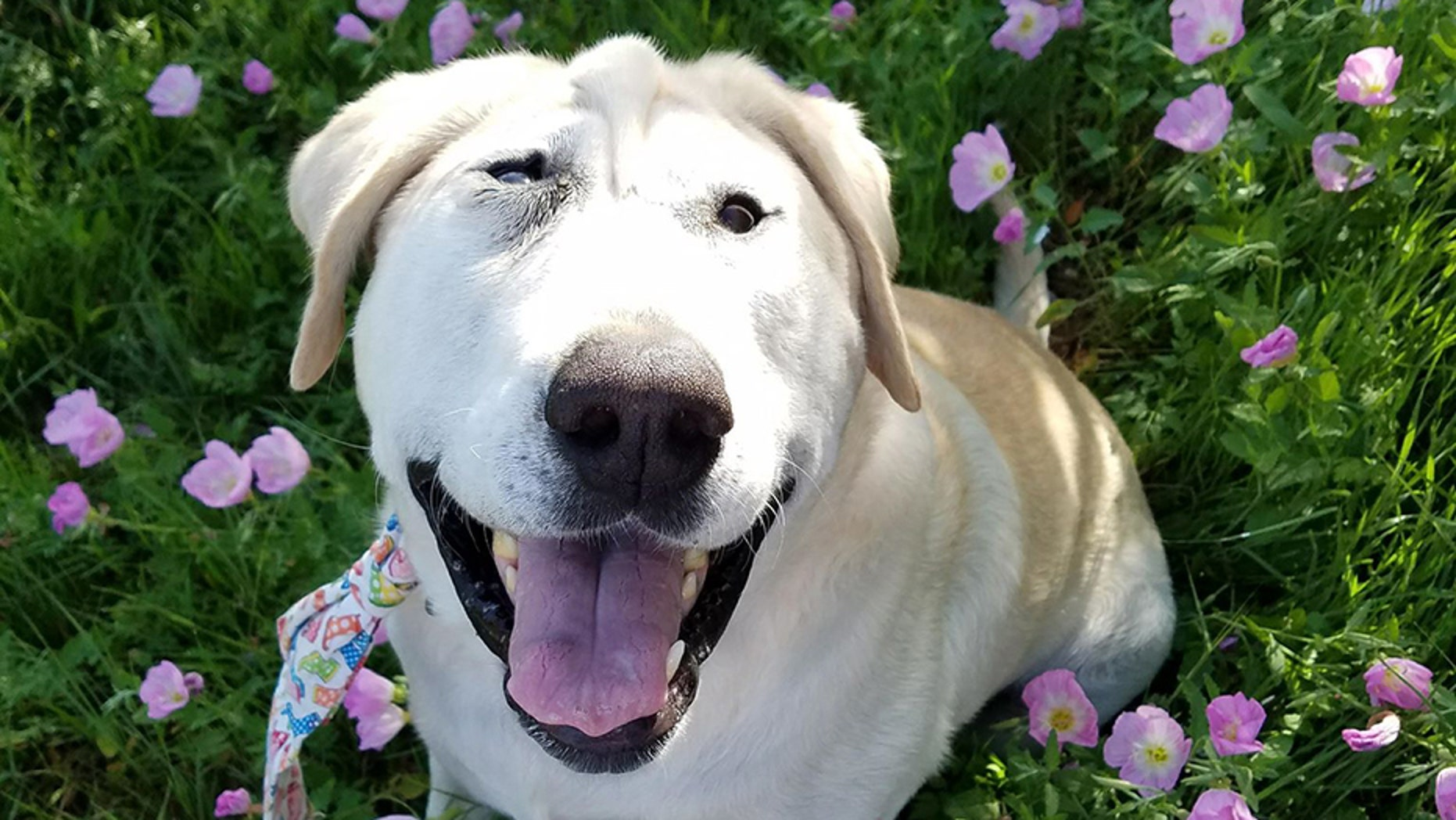 Beaux Tox, a 6-year-old Labrador Retriever, had been neglected for five years in a Texas backyard until April 2017, when Jamie Hulit adopted him.