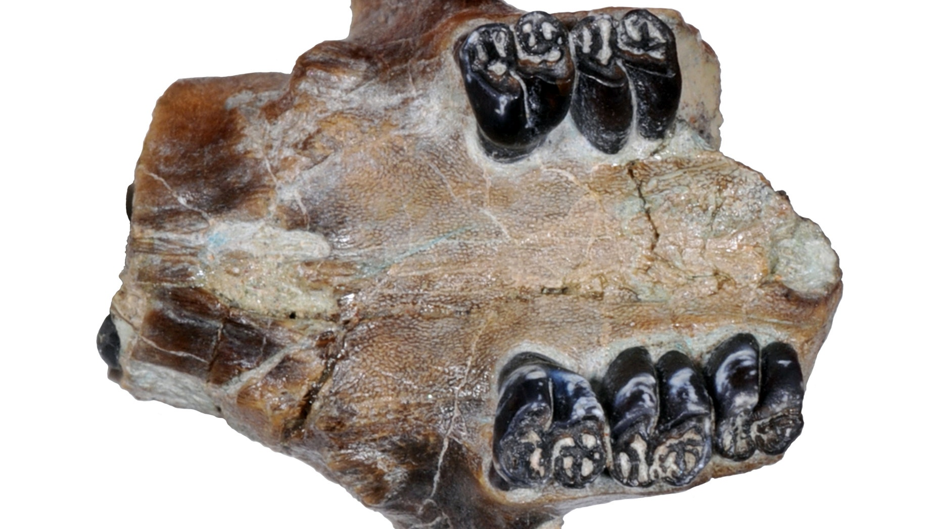 This undated photo provided by John Day Fossil Beds National Monument paleontologist Joshua Samuels in May 2015 shows a portion of the fossilized skull and teeth of an ancient beaver.