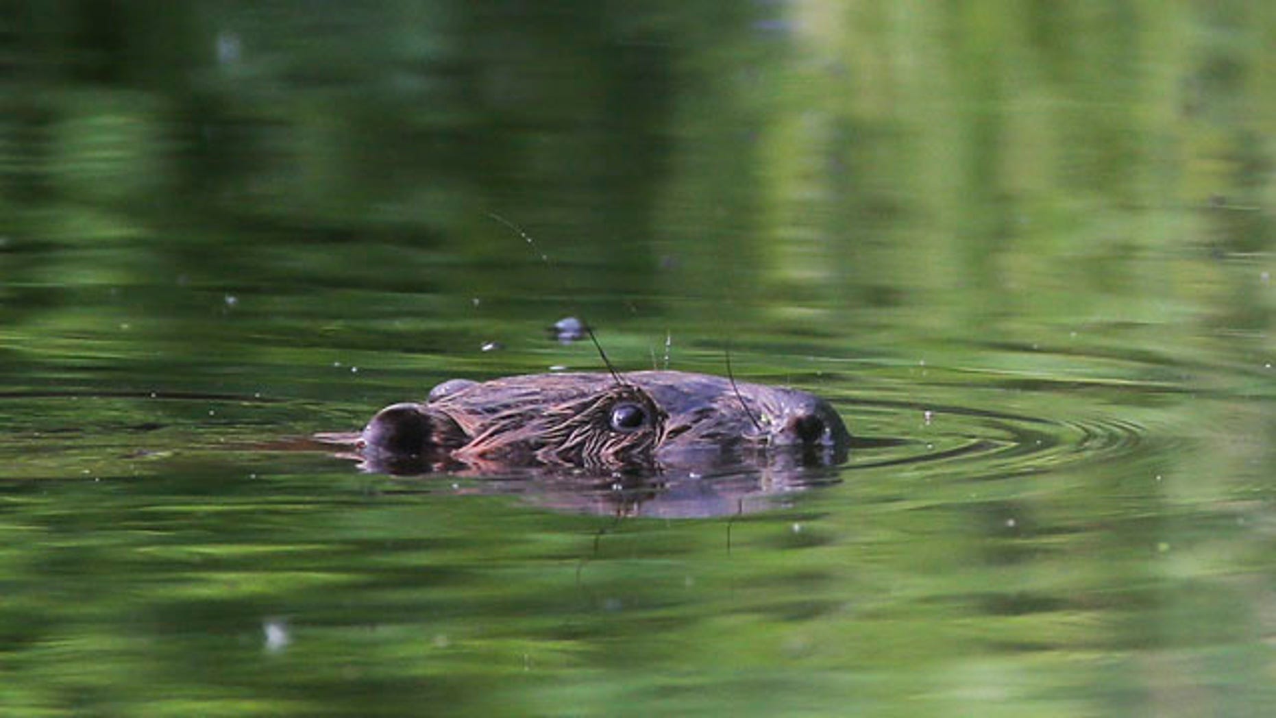 May 26, 2013: A beaver swimming in a pond in the forest near the village of Lovtsevichi.