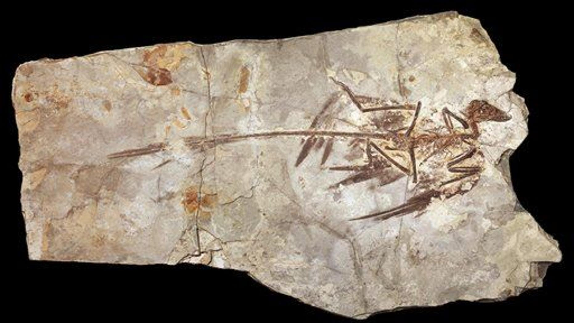 This undated handout illustration provided by the American Museum of Natural History shows a Microraptor, based on a fossil from 130 million years ago found in China.