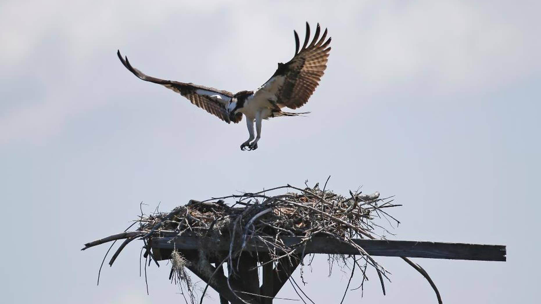 """In this Friday, June 19, 2015 photo, In this Friday, June 19, 2015 photo, an Osprey returns to its nest in Seahorse Key, off Florida's Gulf Coast. In May, Seahorse Key fell eerily quiet, as thousands of birds suddenly disappeared, and biologists are trying to find the reason why. U.S. Fish and Wildlife Service biologist Vic Doig said what was once the largest bird colony on the state's Gulf Coast is now a """"dead zone.""""   (AP Photo/John Raoux)"""