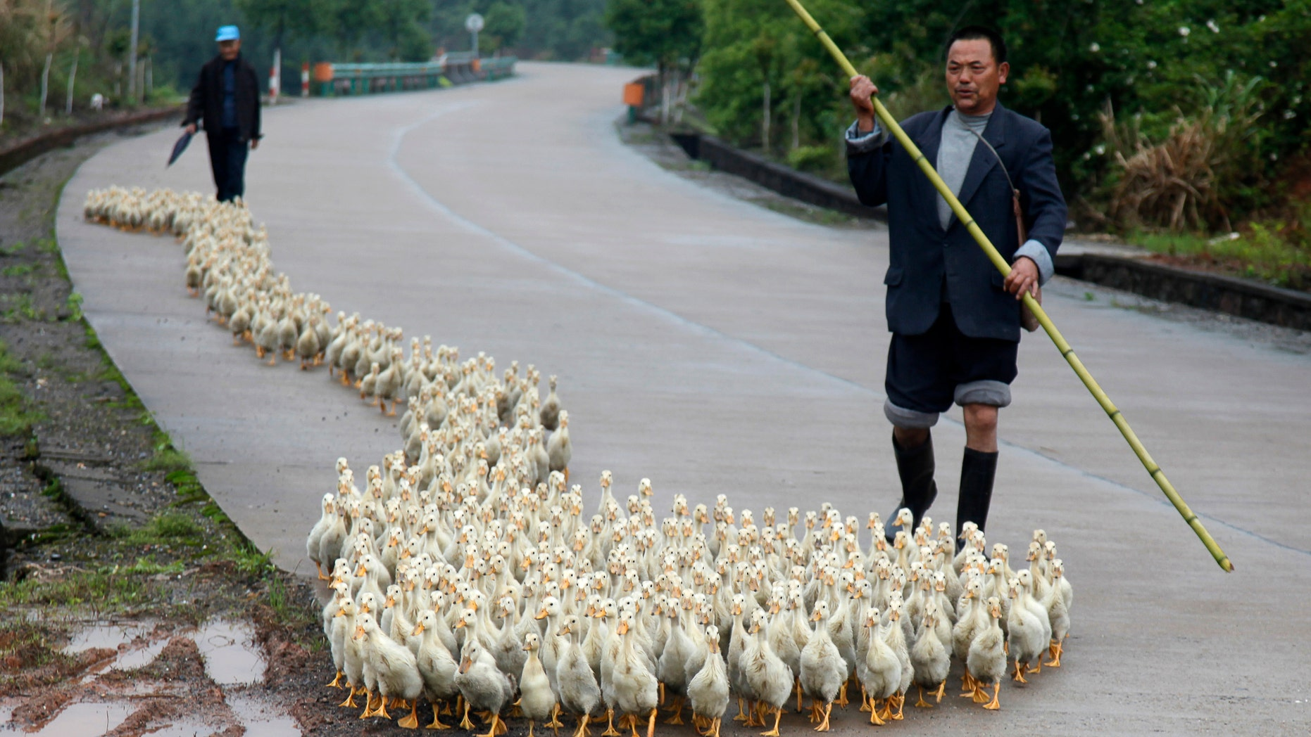 A breeder, whose business has been affected by the H7N9 bird flu virus, walks his ducks along a road in Changzhou county, Shandong province.