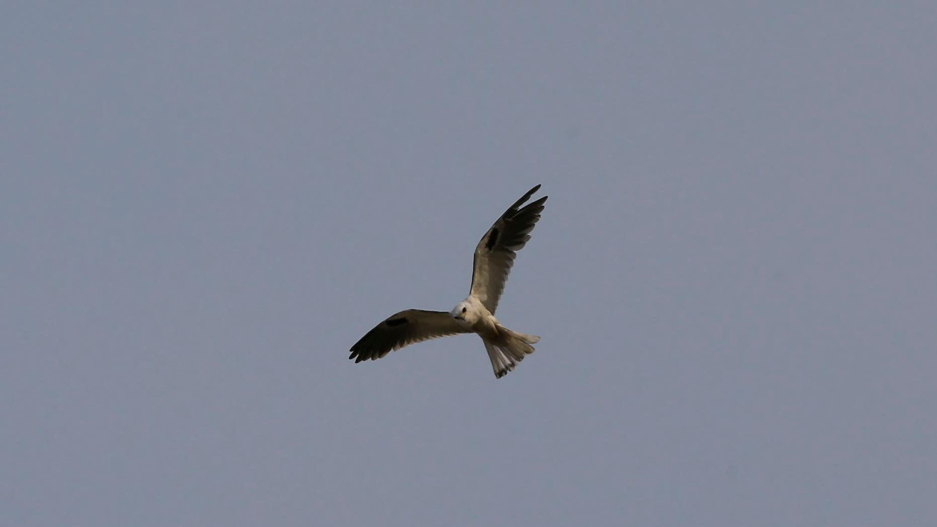 Flying arsonist? A bird of the kite species flies above a wildfire in Colombia.