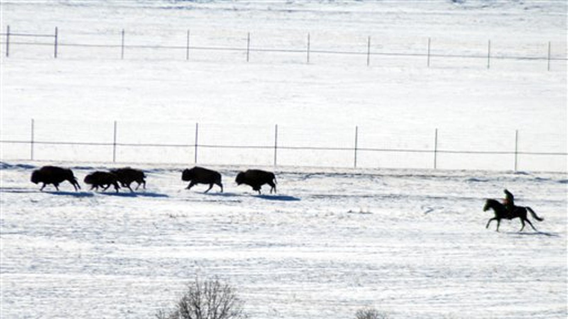 This image provided by the Buffalo Field Campaign shows livestock agents driving bison toward corrals inside Yellowstone National Park, Mont., for disease testing, Feb. 1, 2011. Animals that test positive for exposure to the disease Brucellosis were to be sent to slaughter in coming days.