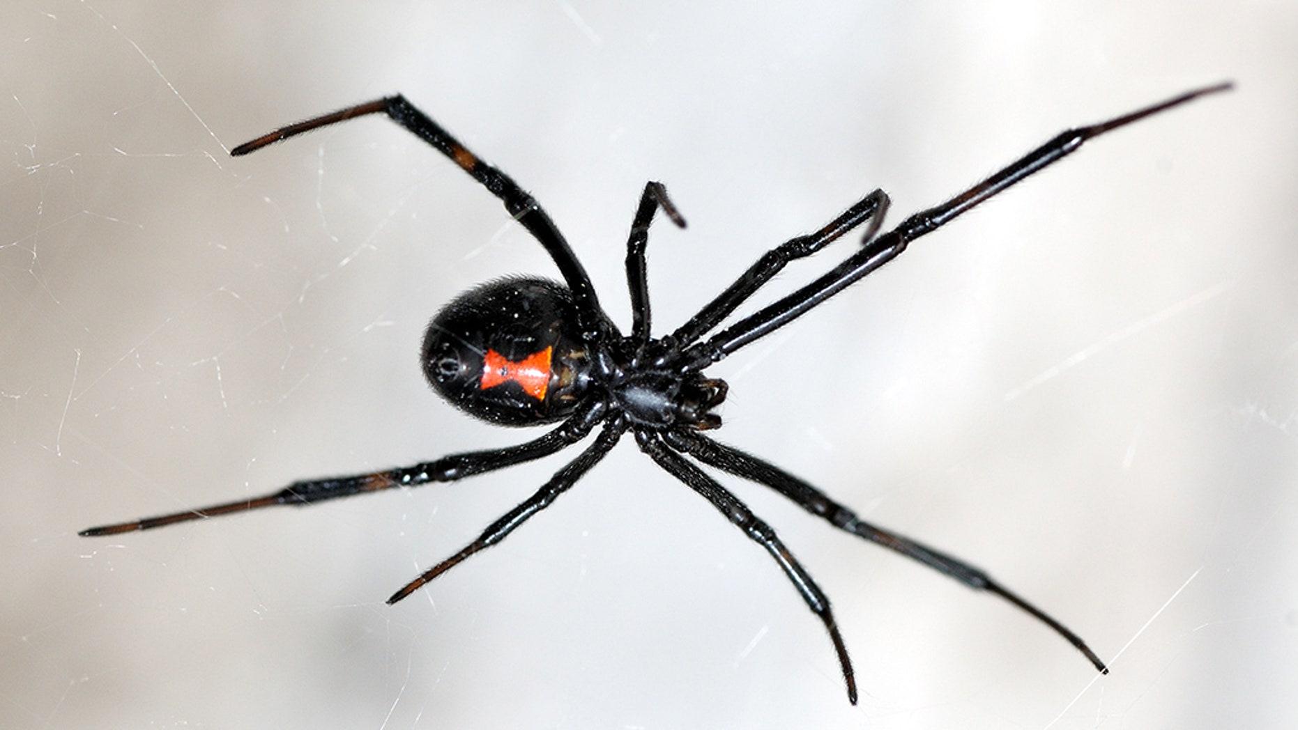 A black widow spider.