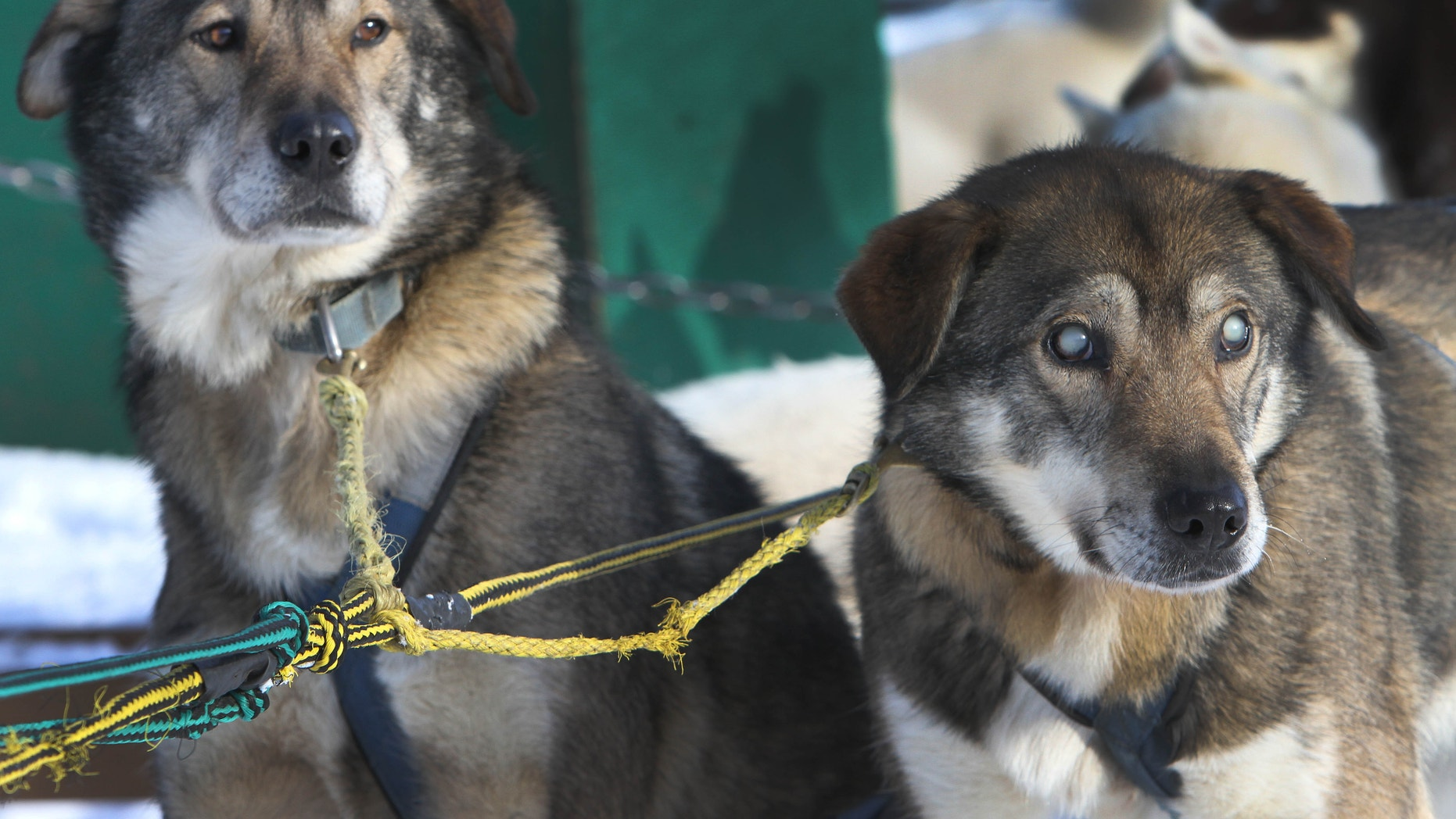 Jan. 17, 2013: Sled dogs Poncho, left, and his blind brother Gonzo are hooked up for a run at the Muddy Paw Sled Dog Kennel.