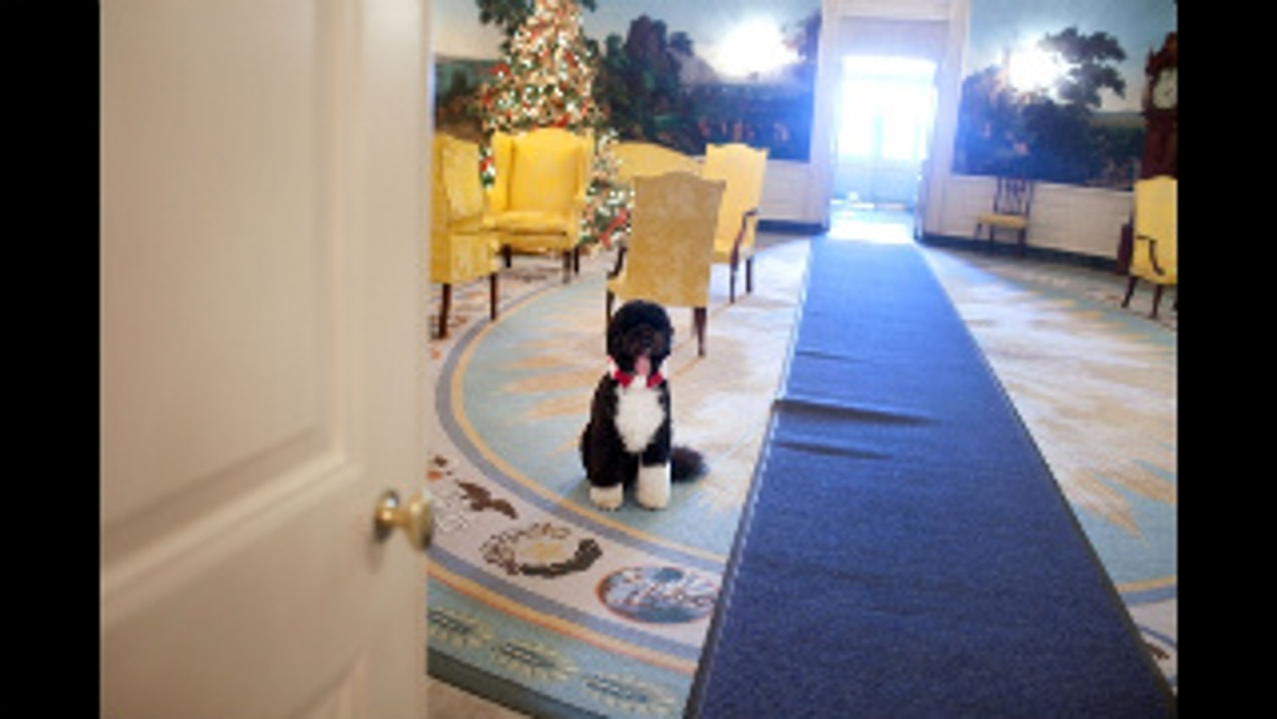 Bo, the Obama family dog, waits near a Christmas tree in the Diplomatic Reception Room of the White House, December 3, 2009. (Official White House Photo by Samantha Appleton)