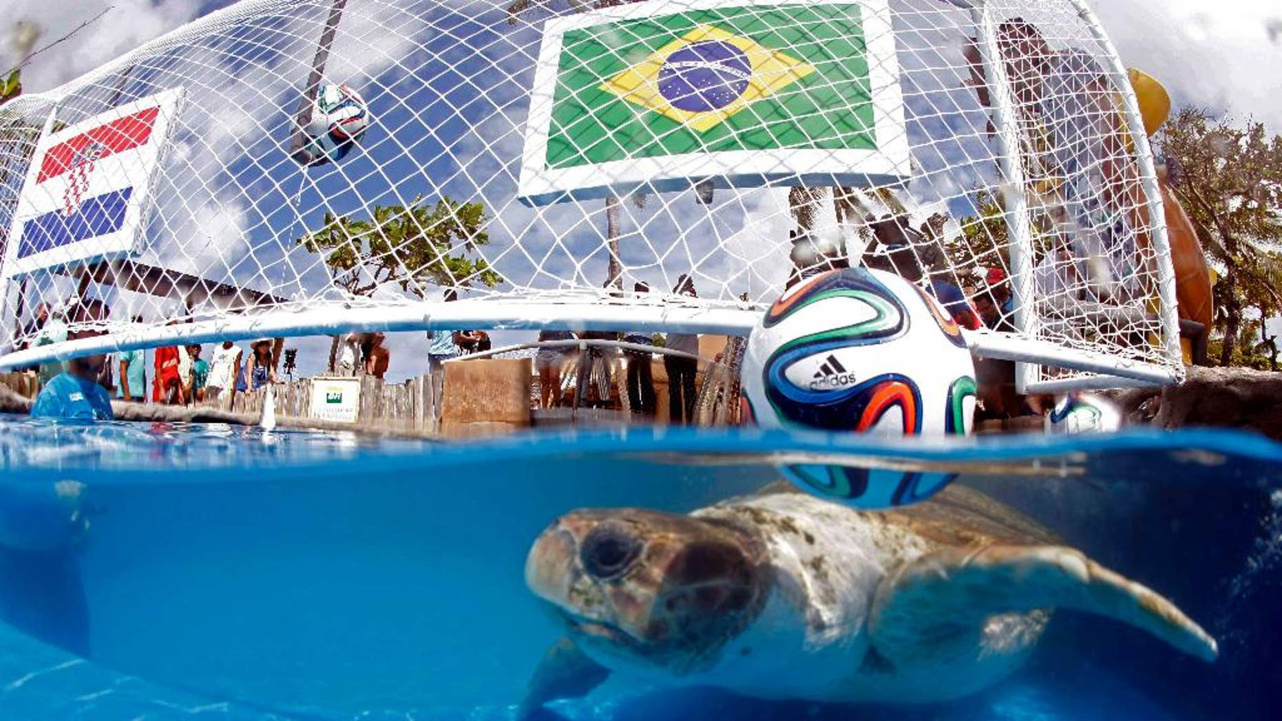 "A turtle named ""Cabecao,"" or Big Head, swims in a pool in Praia do Forte, Brazil, Tuesday, June 10, 2014. The turtle, Brazil's answer to German octopus Paul who started the psychic animal craze during the 2010 World Cup, predicted Tuesday that the host nation will beat Croatia in the opening game of the World Cup on Thursday. (AP Photo/Lucio Tavora, Agencia A Tarde)"