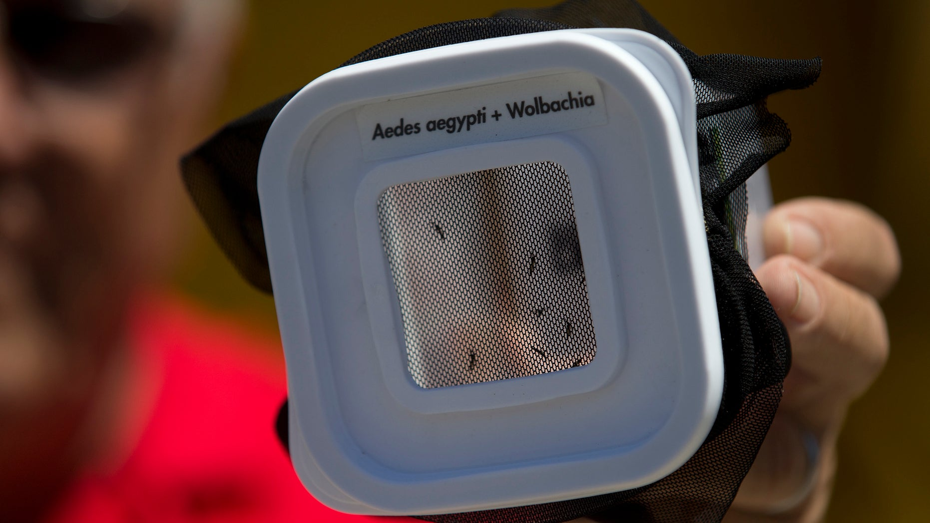 A technician shows mosquitoes that are infected with a dengue-blocking bacteria in Rio de Janeiro, Brazil, Sept. 24, 2014.