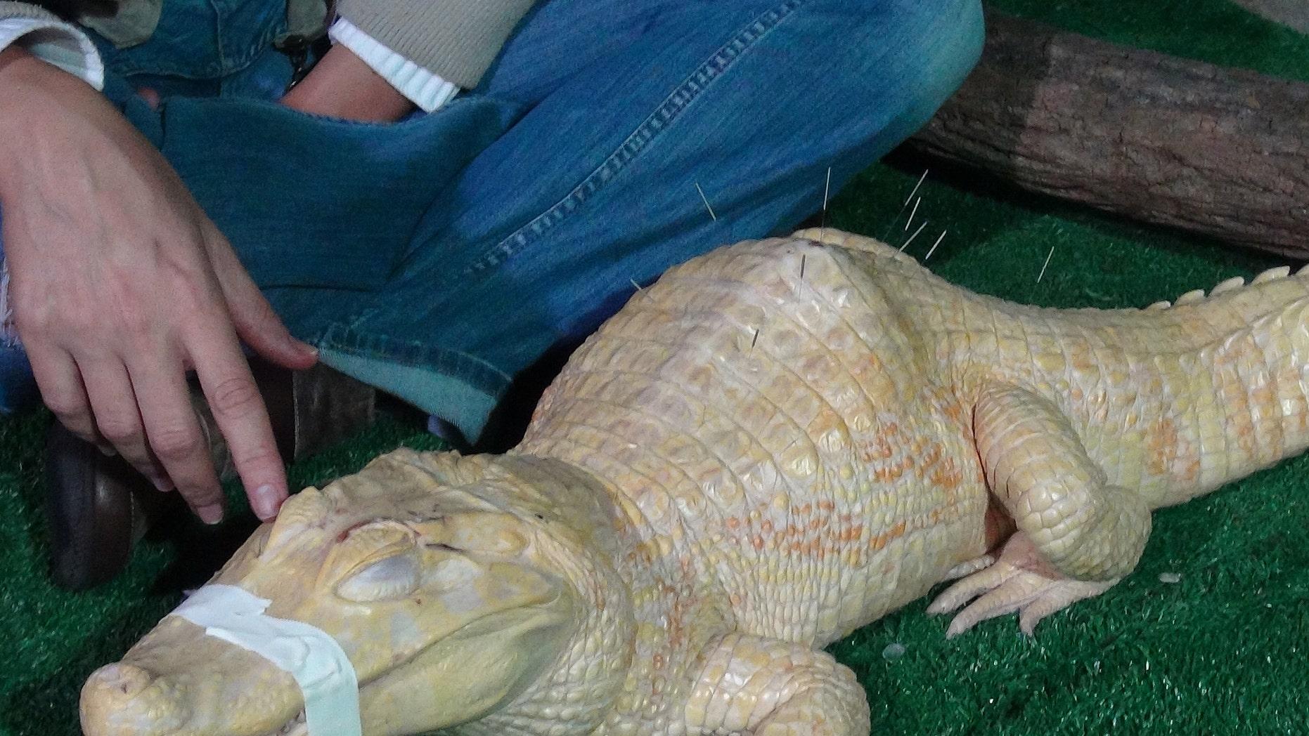 Bino, the albino alligator, receives acupuncture treatment in Sao Paulo, Brazil, Tuesday, Aug 27, 2013.